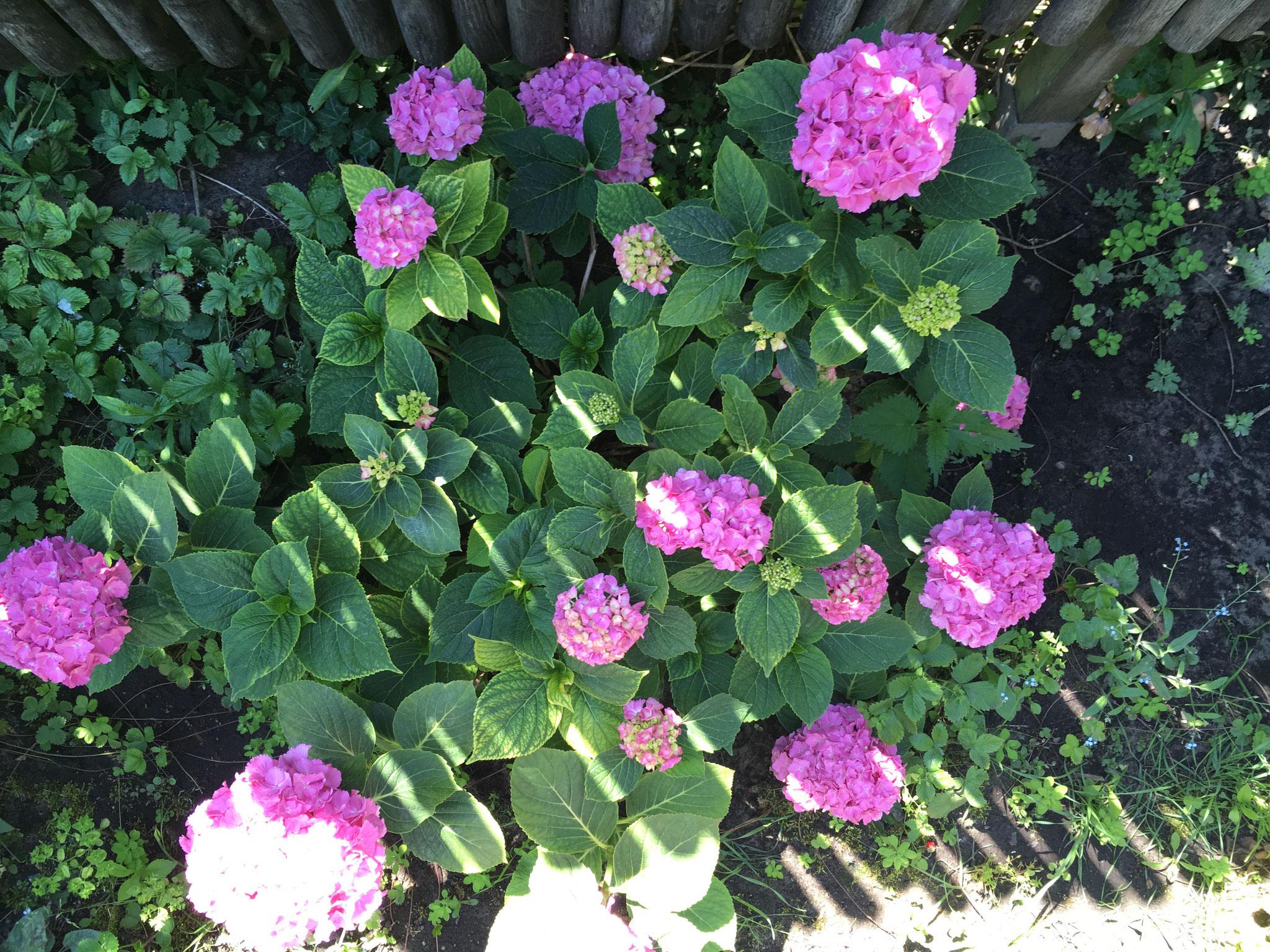 Bauernhortensie rosa
