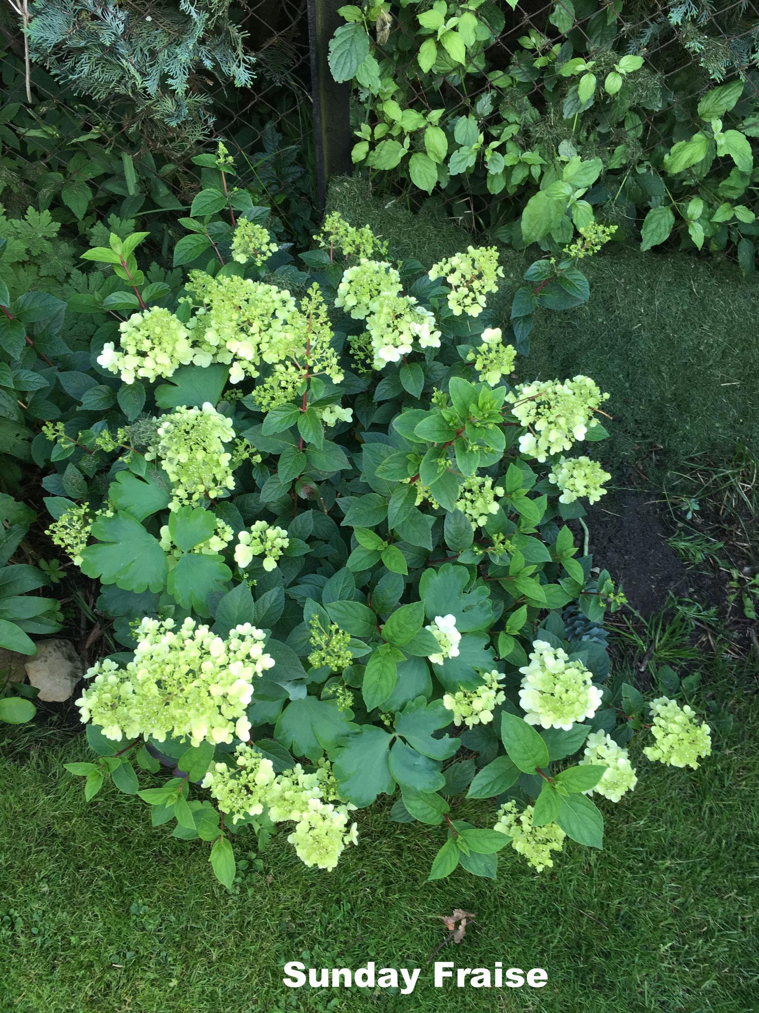 Hortensie paniculata Rispenhortensie Sunday fraise weiß bis rot im Herbst