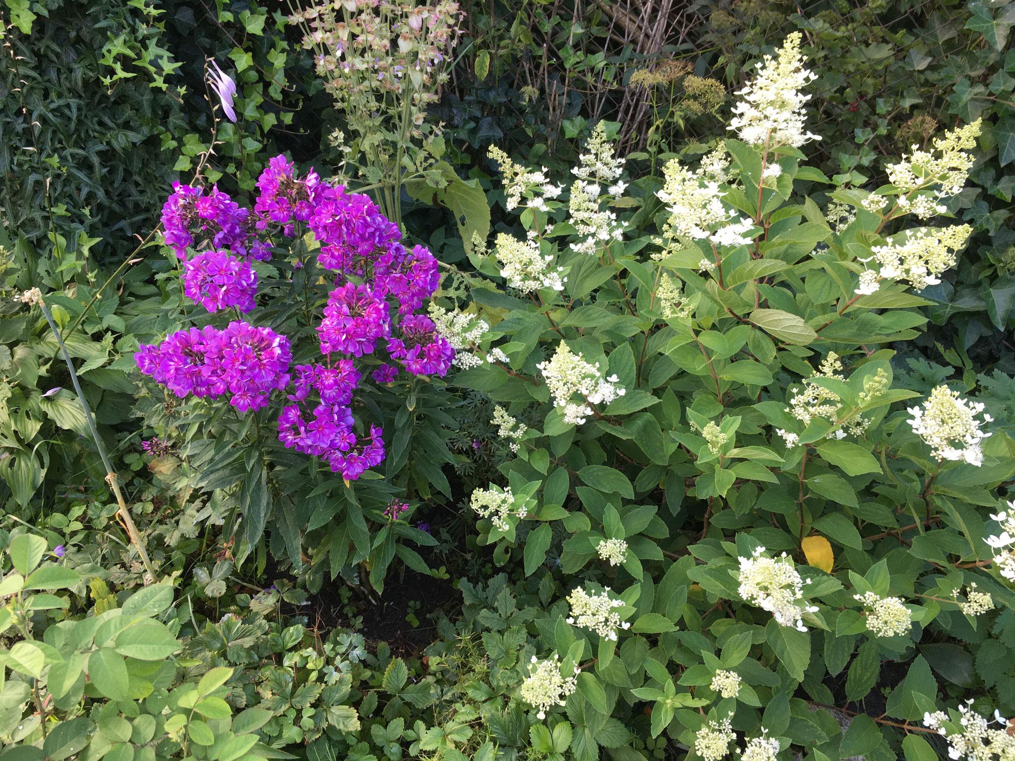 Phlox und Hortensie Paniculata officinalis