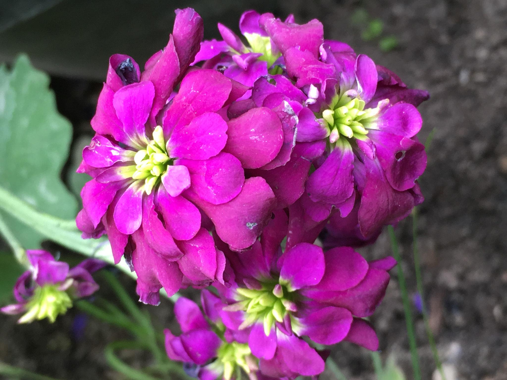 Levkoje Blüte