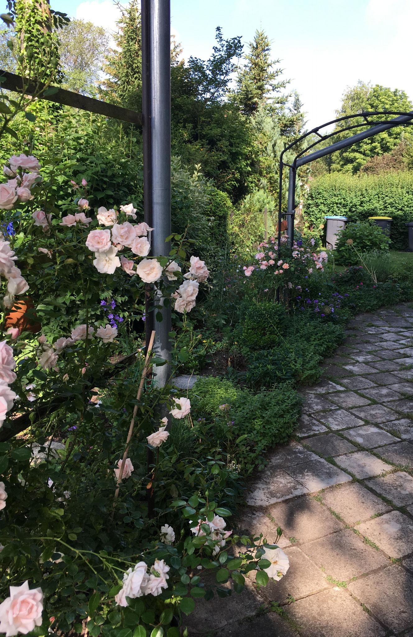 Rose New Dawn, vorne, und Mme Albertine , hinten, am Rosenbogen