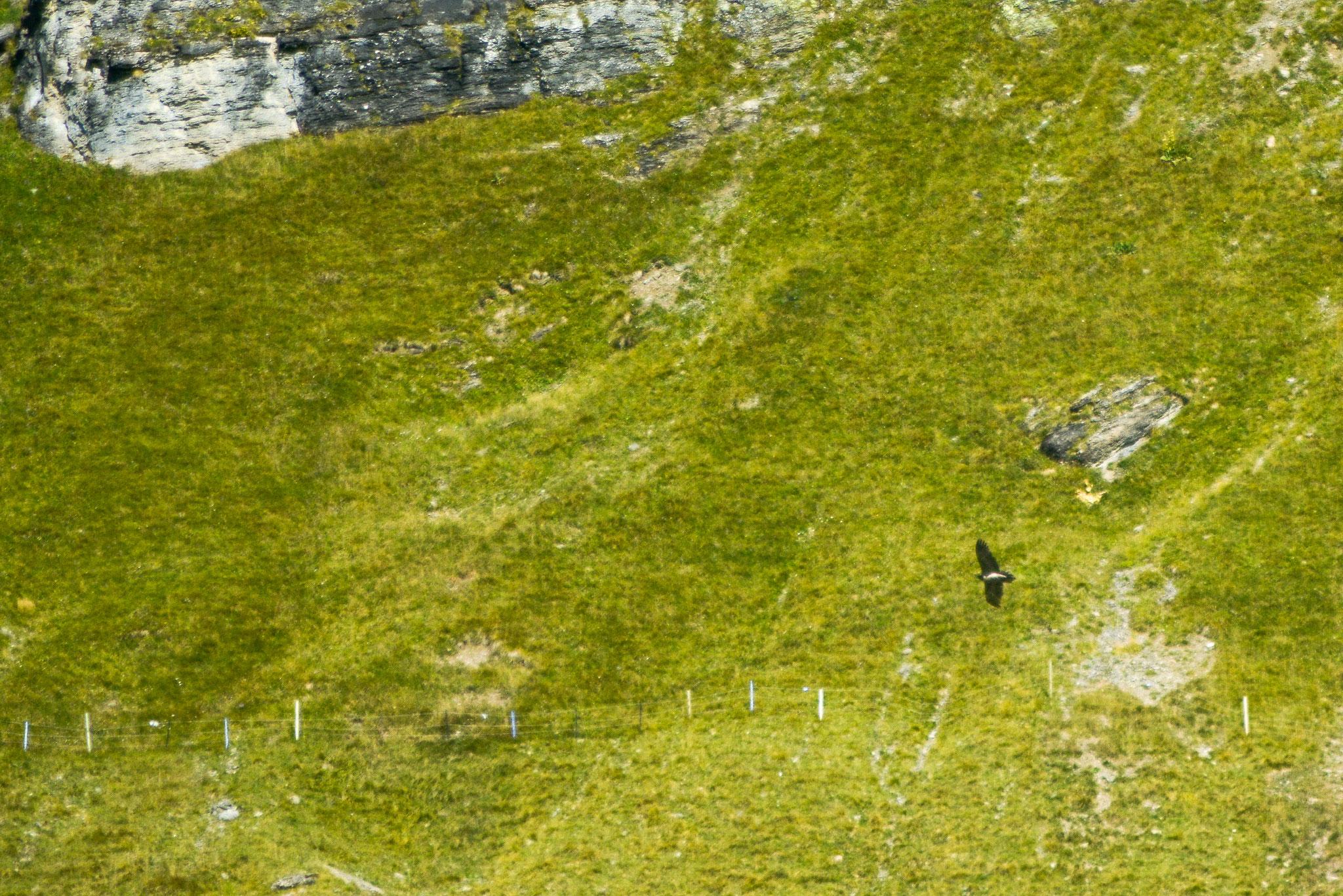 Bild: Ein Bartgeier schraubt sich mit Leichtigkeit gen Himmel zvg. Franziska Kiser