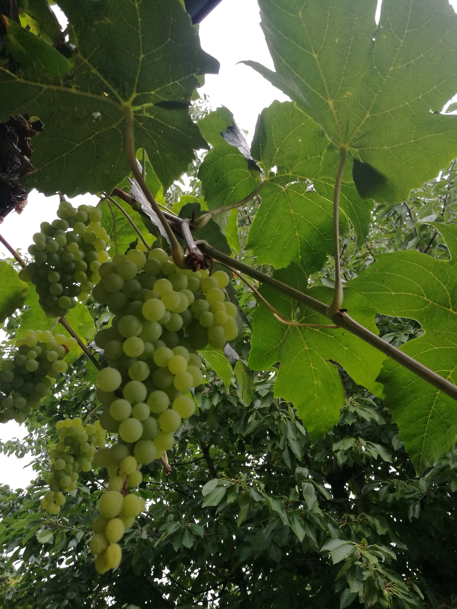 Weinblätter sind sehr beliebt, Trauben als Leckerchen
