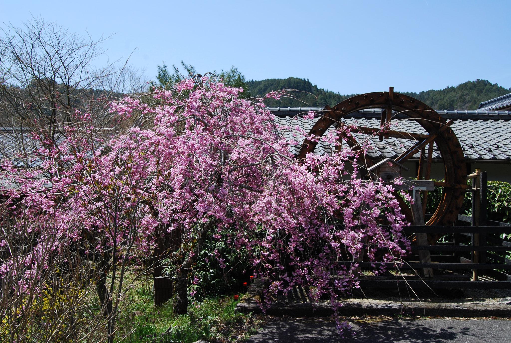 挽家の水車と桜