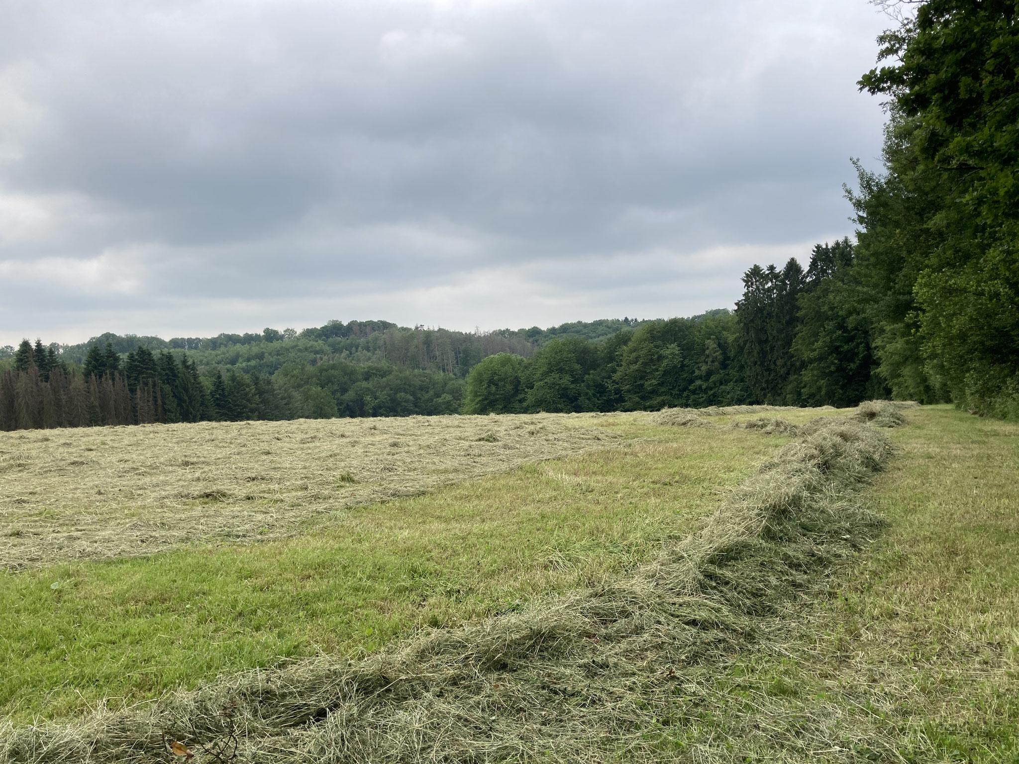 """Gut zu erkennen: das Gras bleibt zum Trocknen breit ausgebreitet liegen. Vorne am Bildrand ist ein """"Schwad"""" zu erkennen, da liegen die Grashalme auf einem ganz langgezogenen Haufen."""