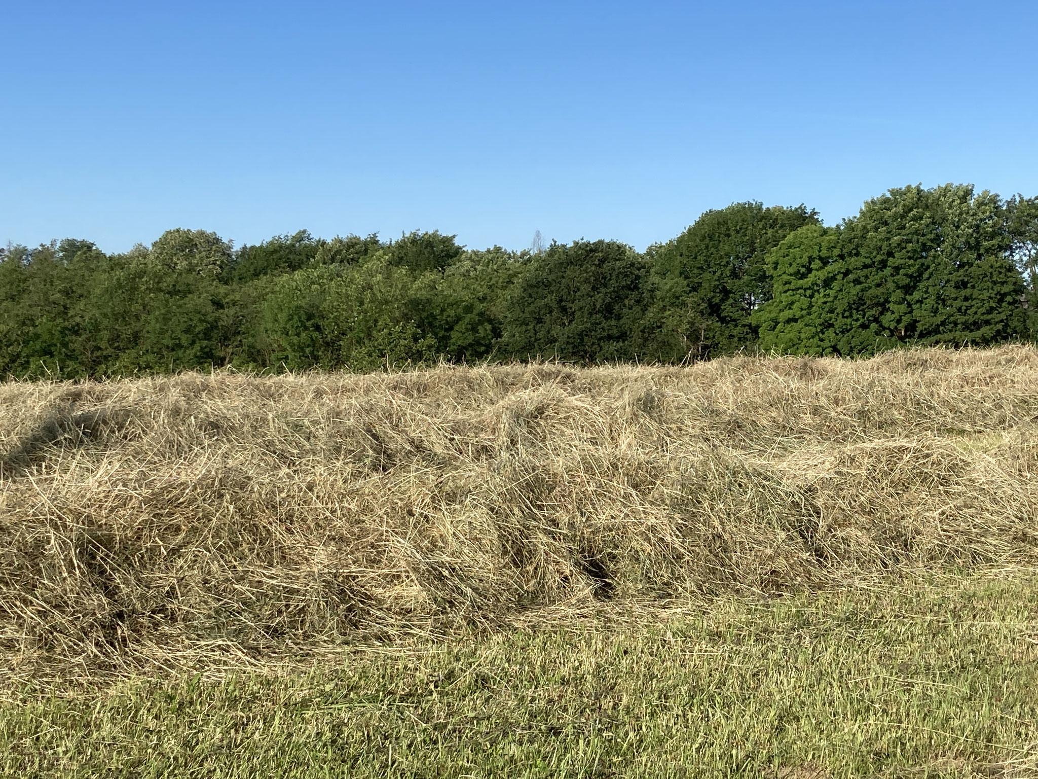 So hoch kann er Schwad sein, wenn das Gras gut gewachsen war. Und hier wartet es darauf, mit der Ballenpresse zusammengepresst zu werden.