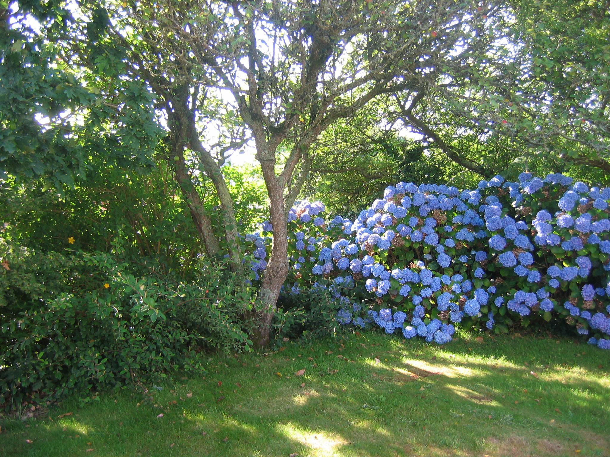 au pays des hortensias bleus