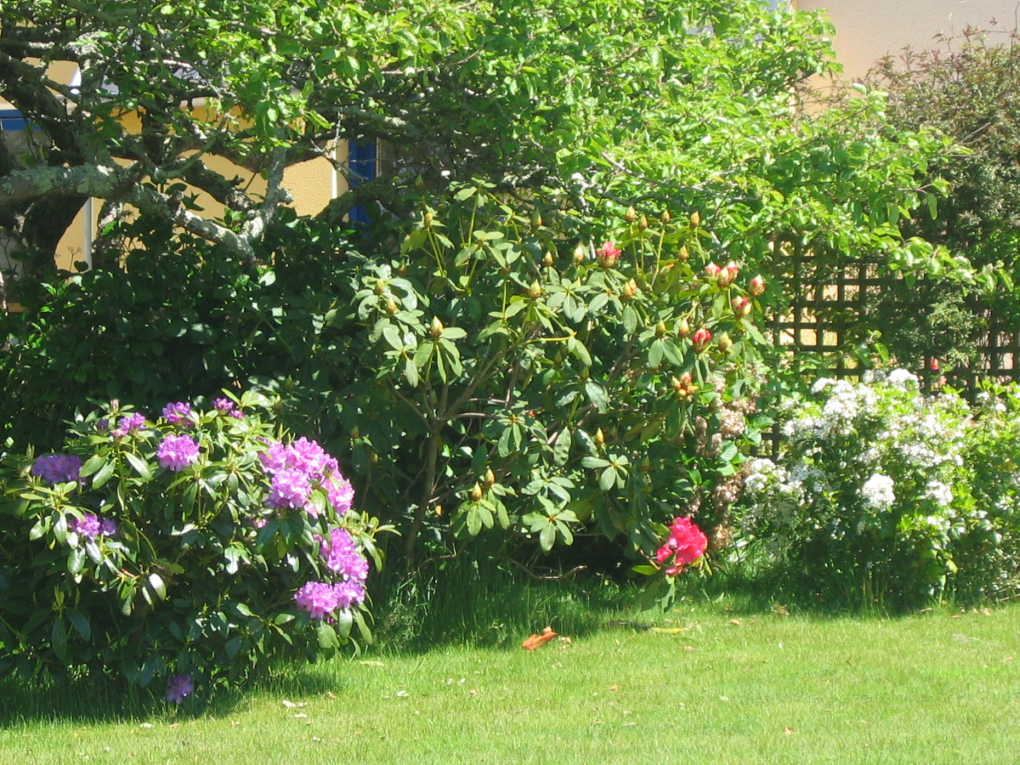 des rhododendrons mauves,