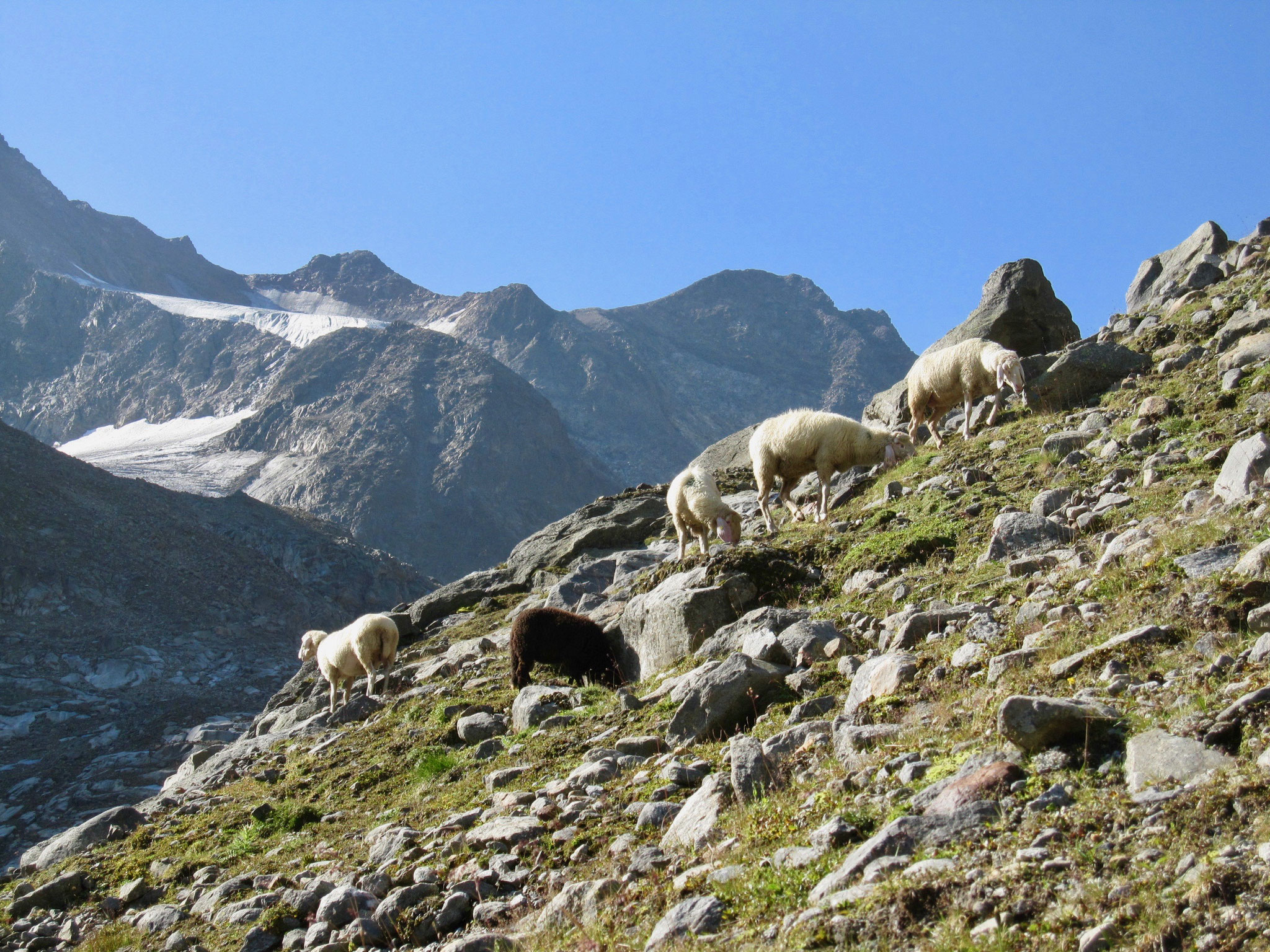 Schafe waren in den höheren Lagen unterwegs