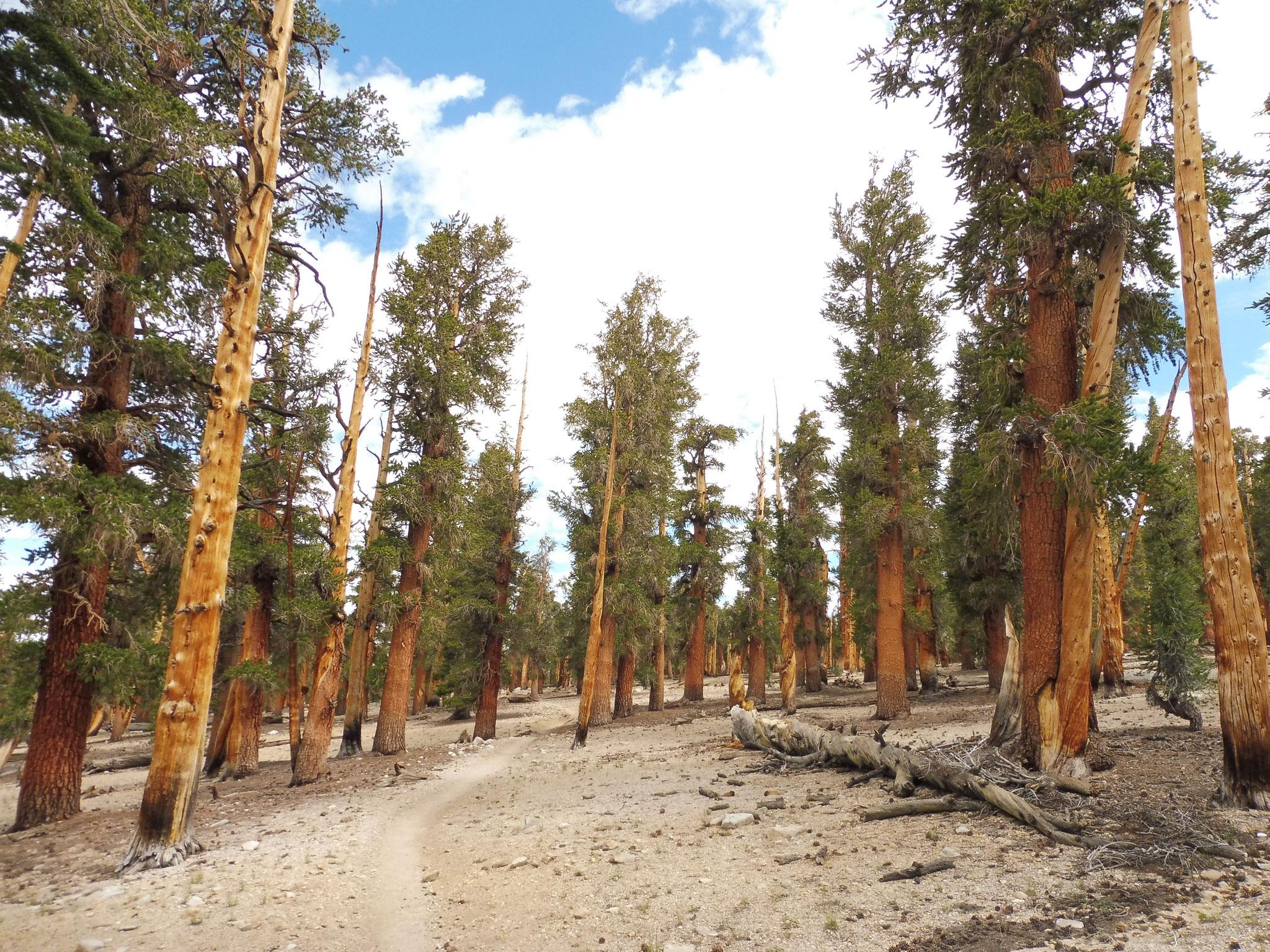 Ein Geisterwald von Guyot Pass nach Crabtree Meadow