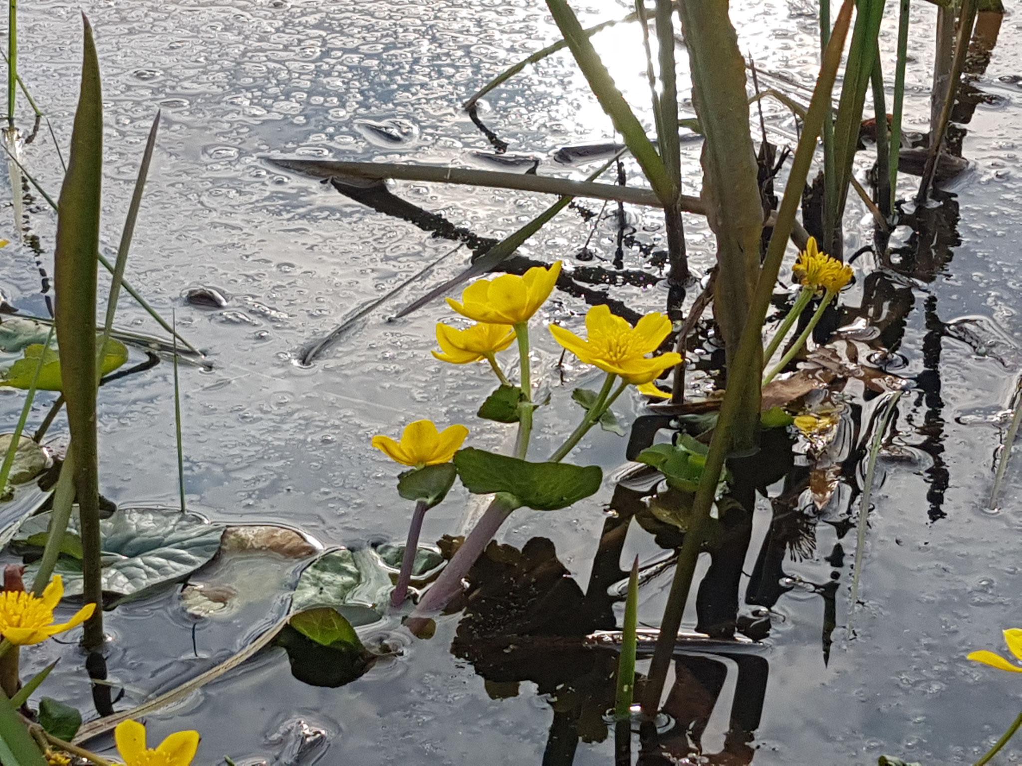 Marsh-Marigold / Sumpfdotteblume