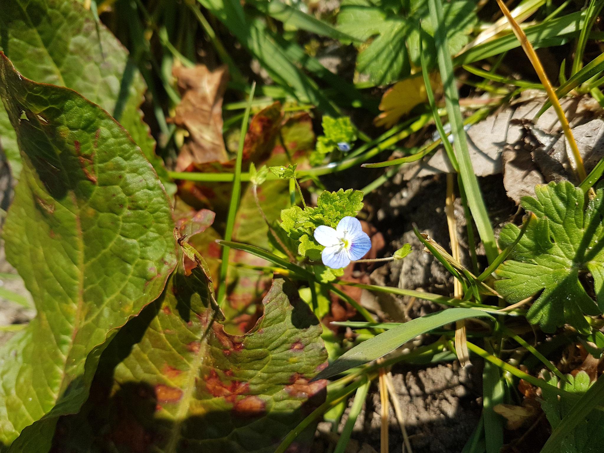 Ivy-leafed Speedwell / Efeu-Ehrenpreis
