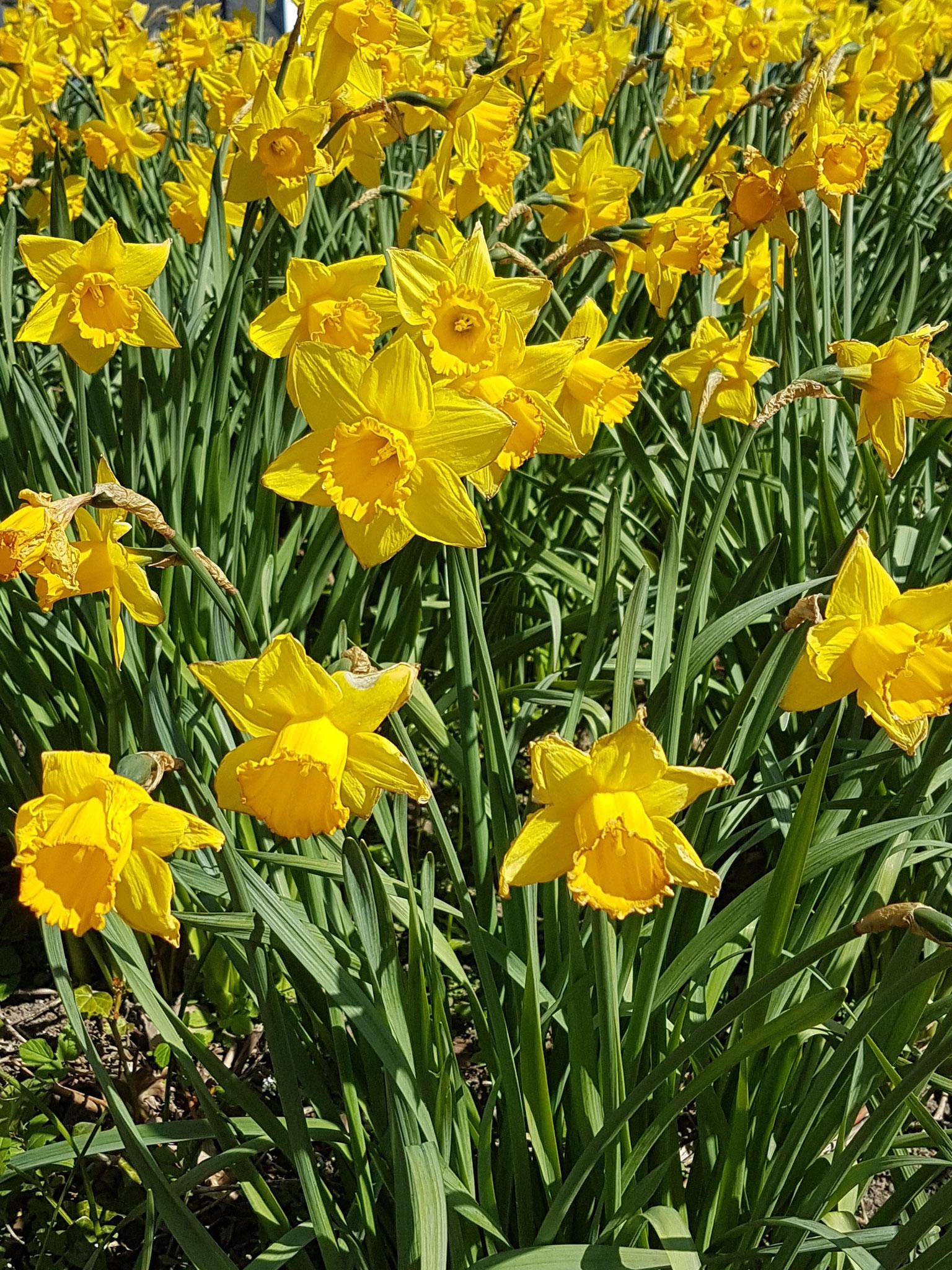 Daffodil / Narzisse