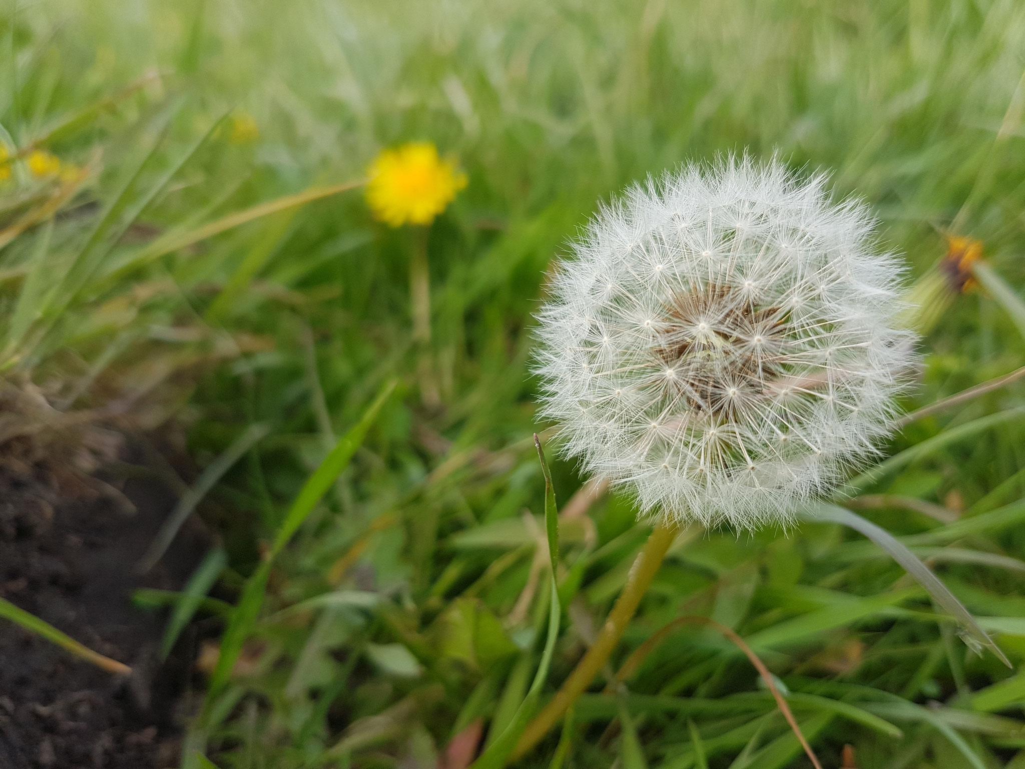 Dandelion / Pusteblume