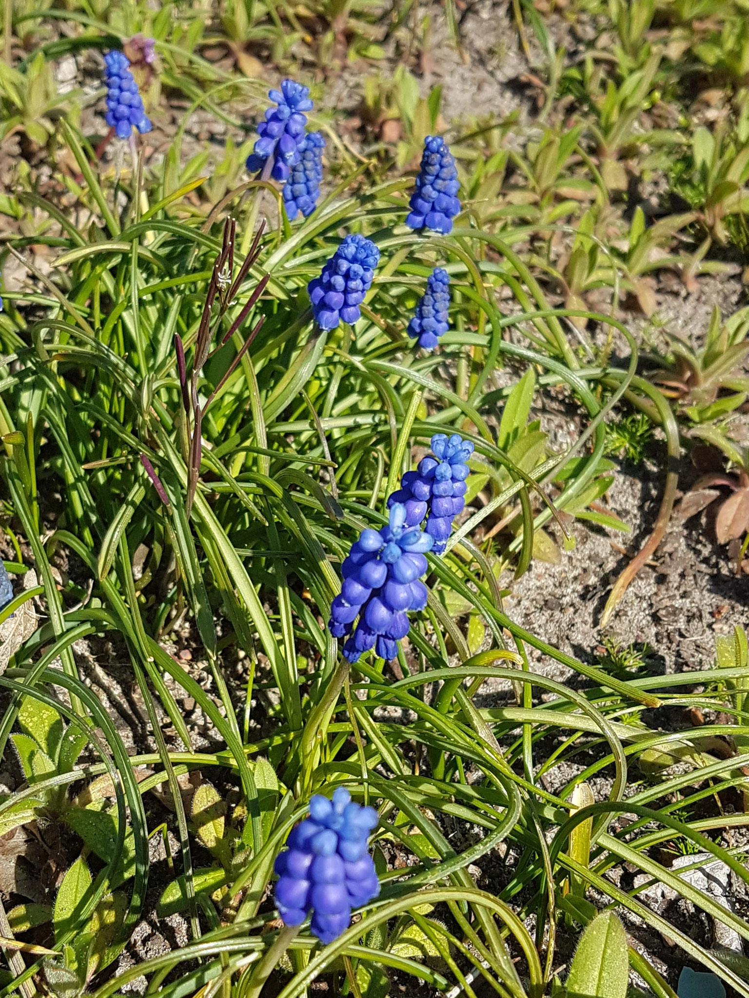 Grape Hyacinths / Traubenhyazinthen
