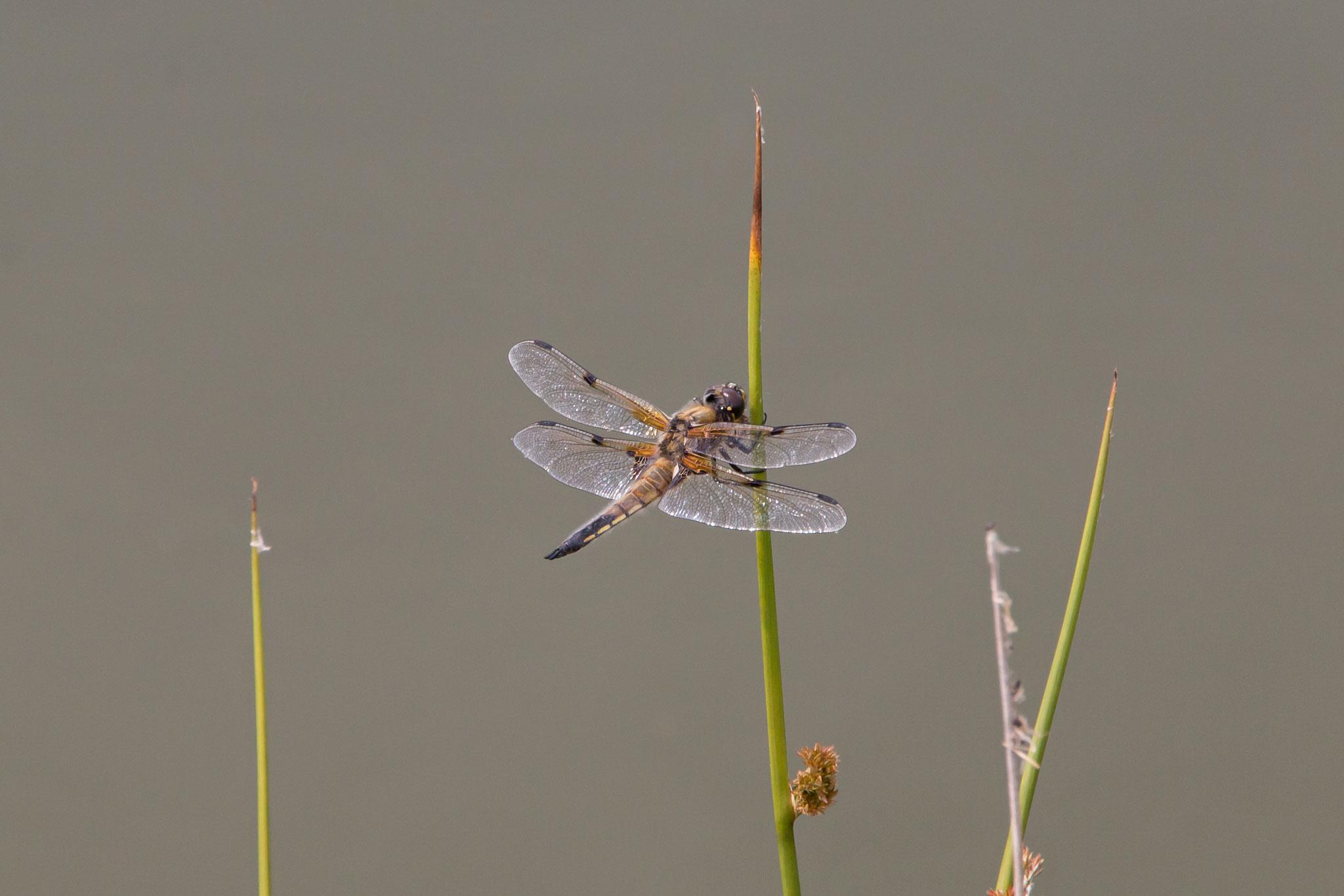 Ein Vierfleck (Libellula quadrimaculata) auf Sitzwarte (Foto: Rea Brinkhoff)