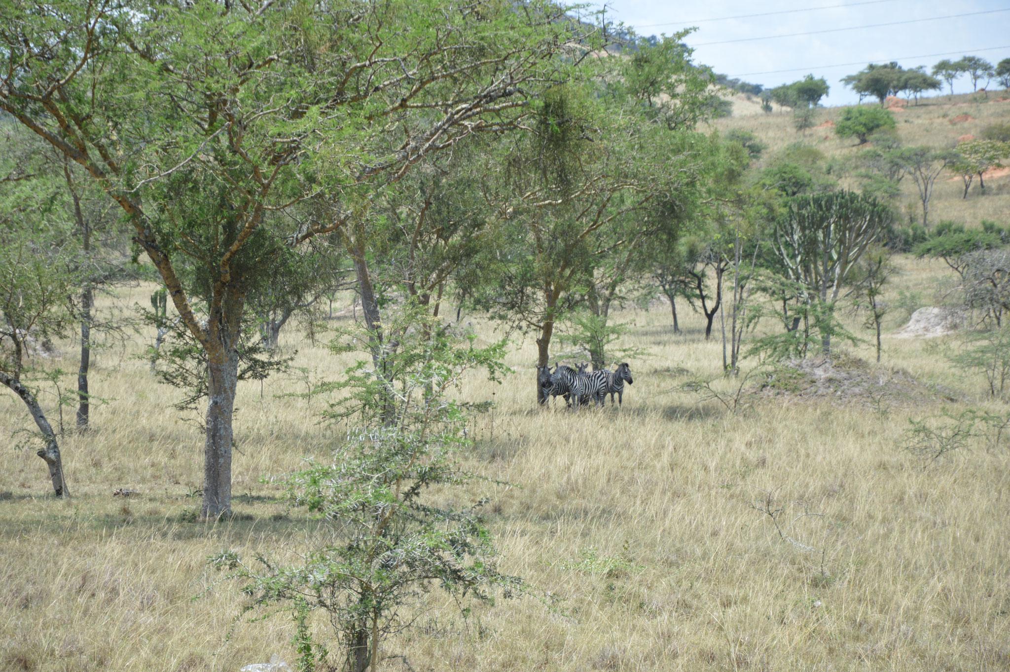 Zebras auf dem Rückweg nach Masaka