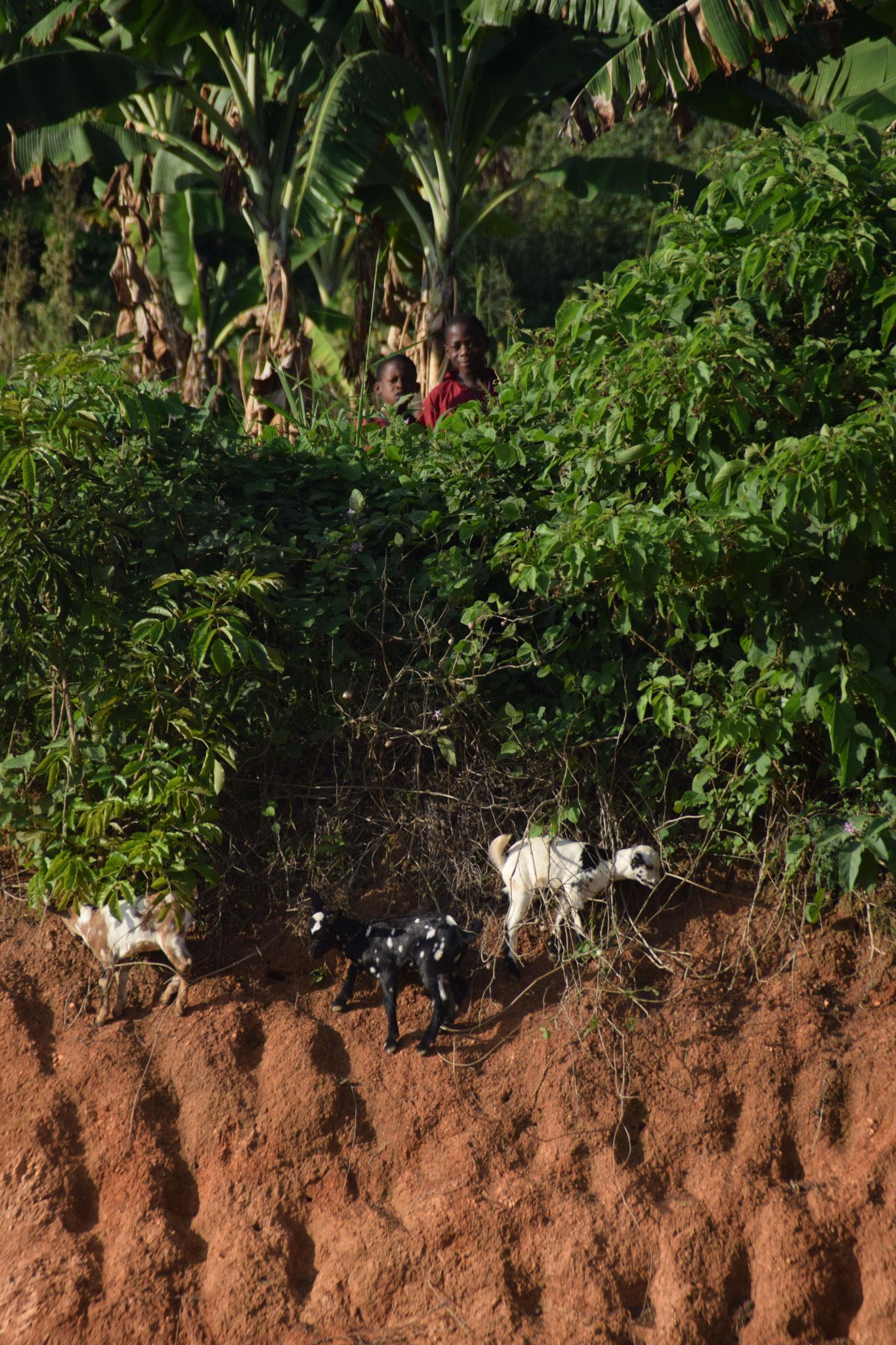 Ziegen an der Schule in Bwanda