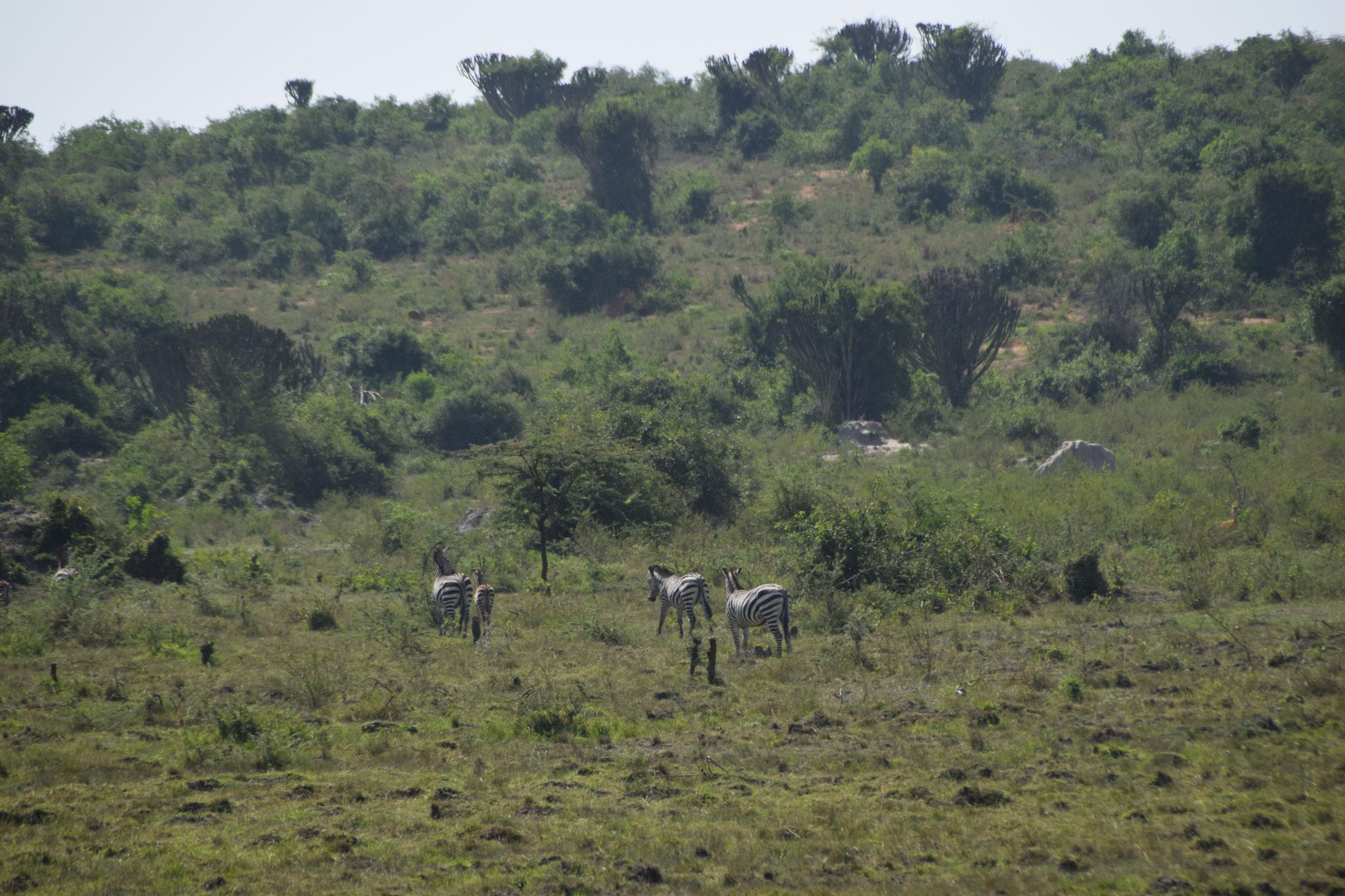 Zebras auf dem Weg nach Isingiro gefunden