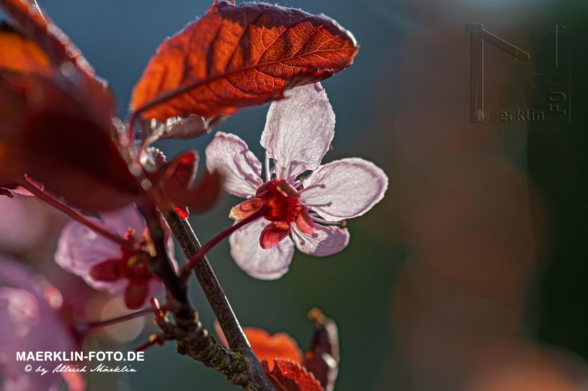 Heckengäu, Blutpflaumenblüte