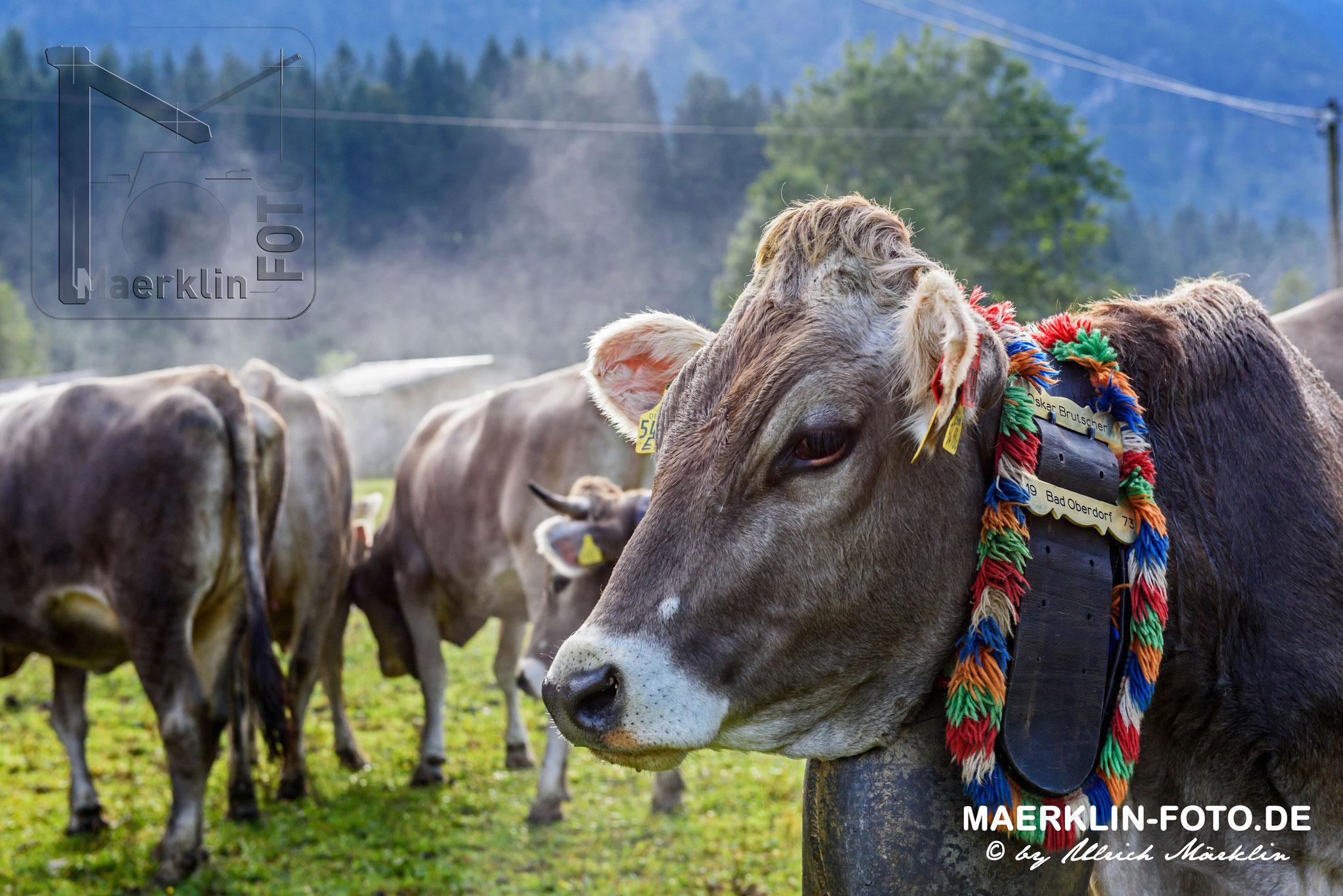 Viehscheid, Viehabtrieb aus dem Ostrachtal nach Hinterstein (Bad Hindelang, Allgäu)