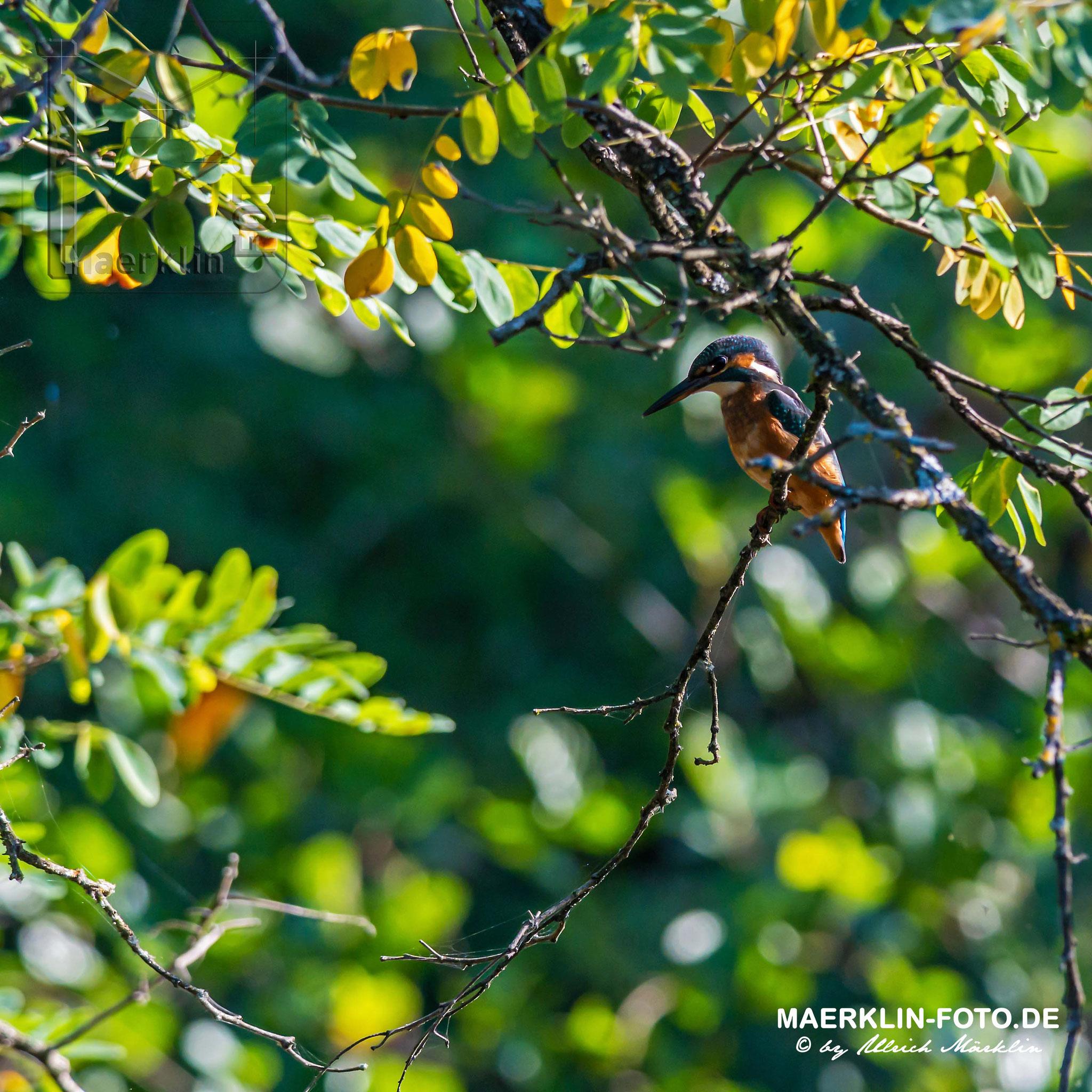 Eisvogel (Alcedo atthis) am Waldteich