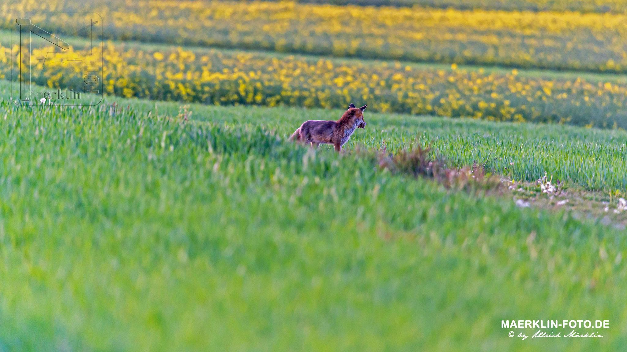 Fuchs/Rotfuchs (Vulpes vulpes) auf der Mäusejagd, Heckengäu
