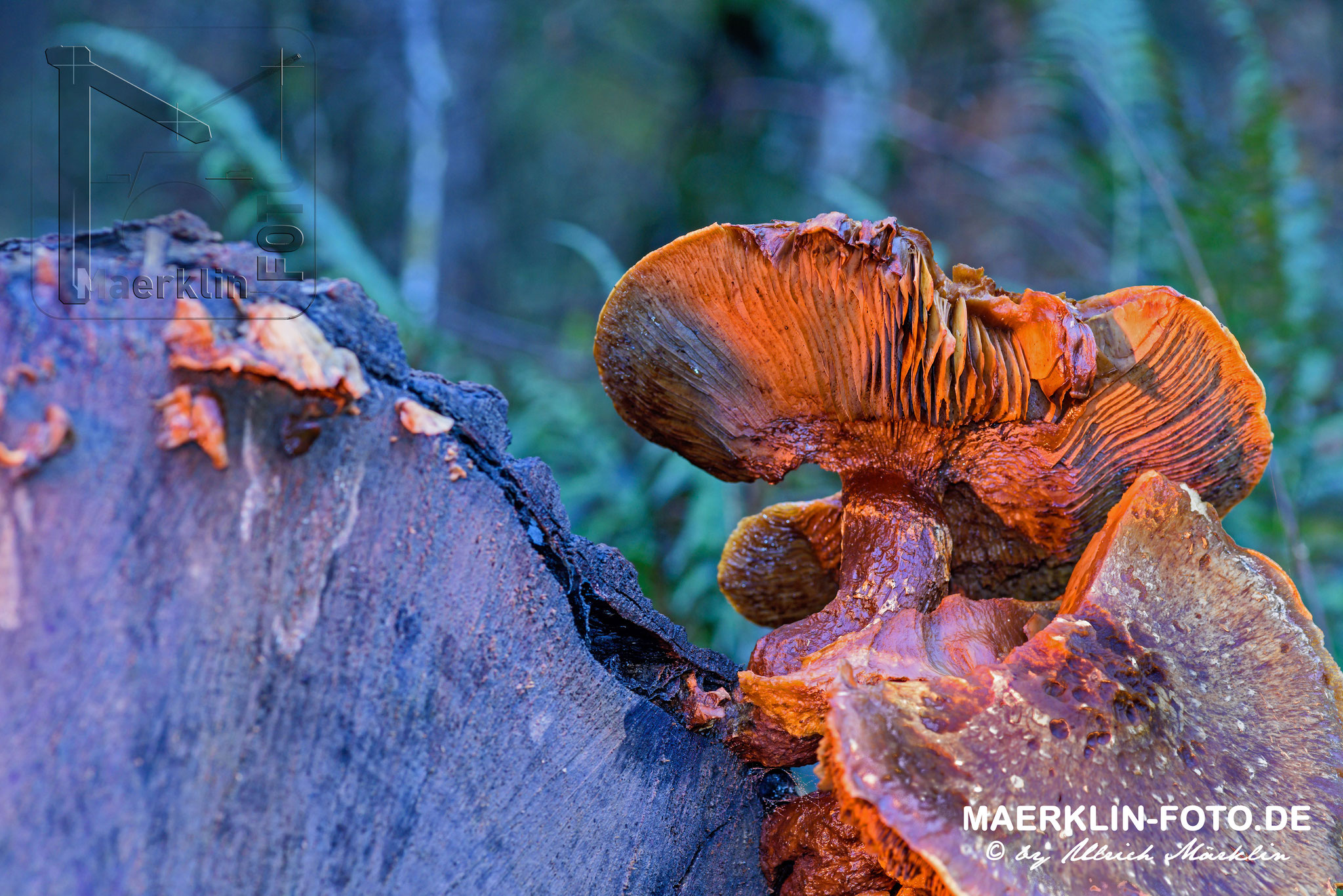 Pilz mit Aufhellblitz, Naturpark Schönbuch