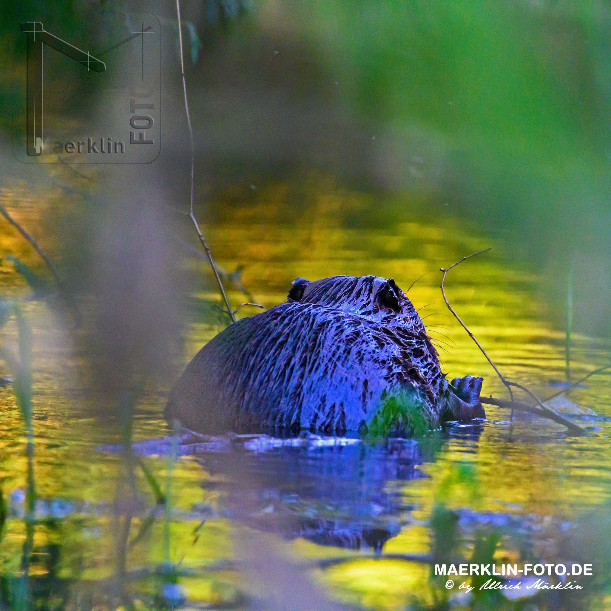 (europäischer) Biber (Castor fiber/Castoridae), nagend im Wasser