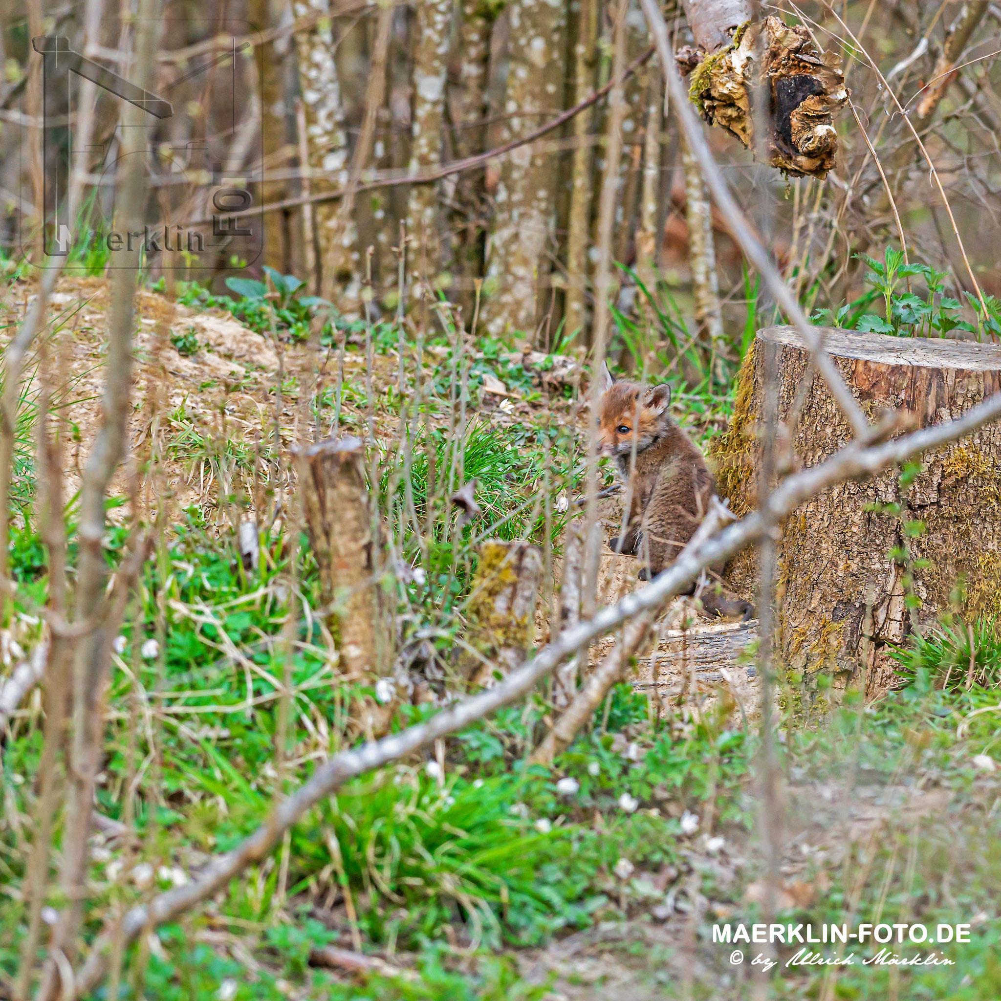 Rotfuchs (Vulpes vulpes), Welpe vor dem Bau