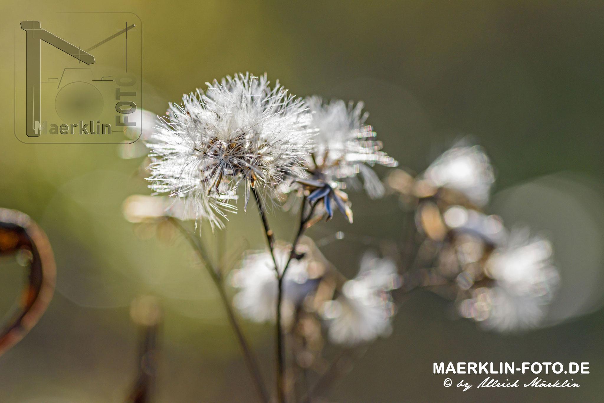 Samenstand im Gegenlicht, Naturpark Schönbuch