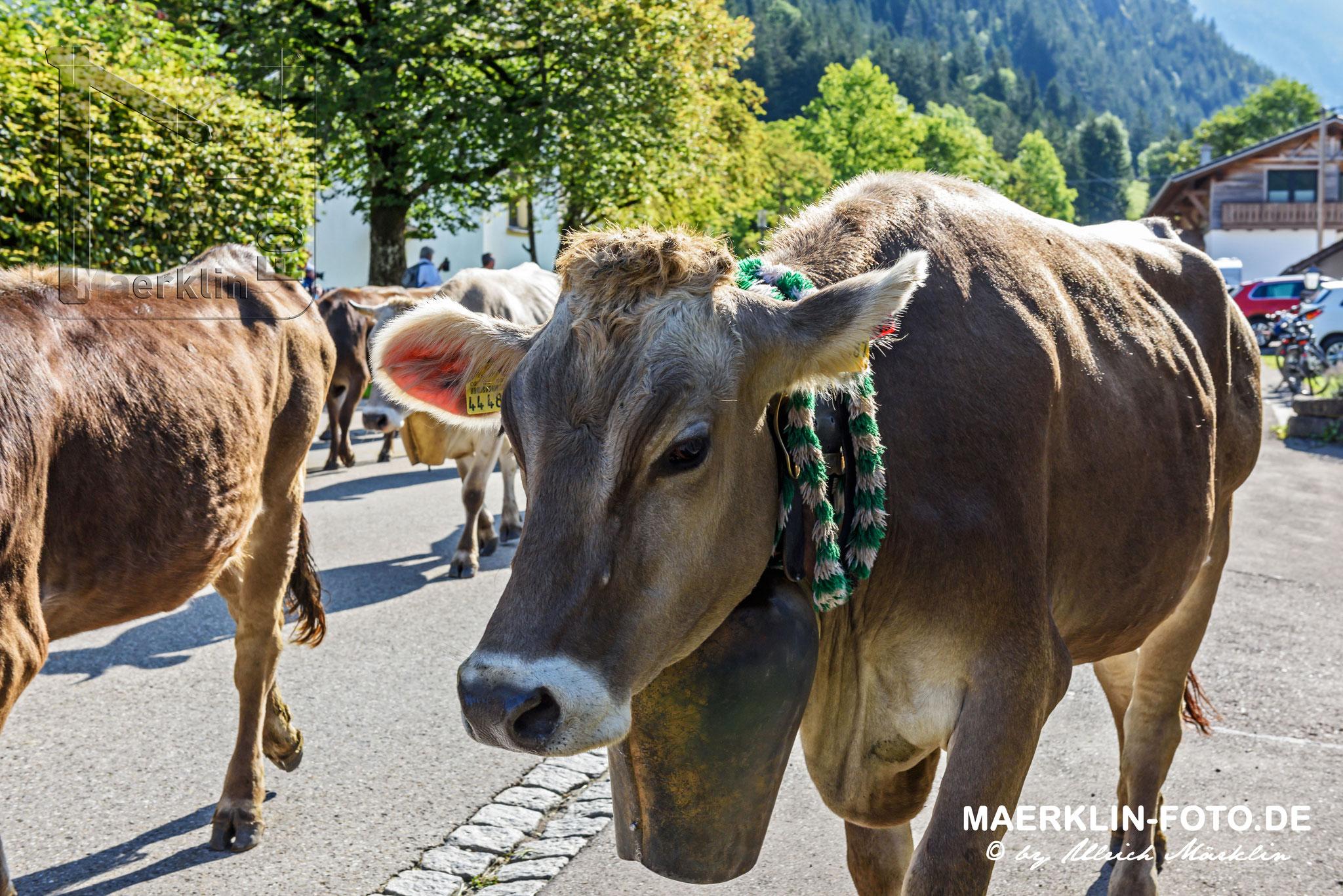 Viehscheid, Viehabtrieb aus dem Ostrachtal von Hinterstein nach Bad Hindelang, Allgäu
