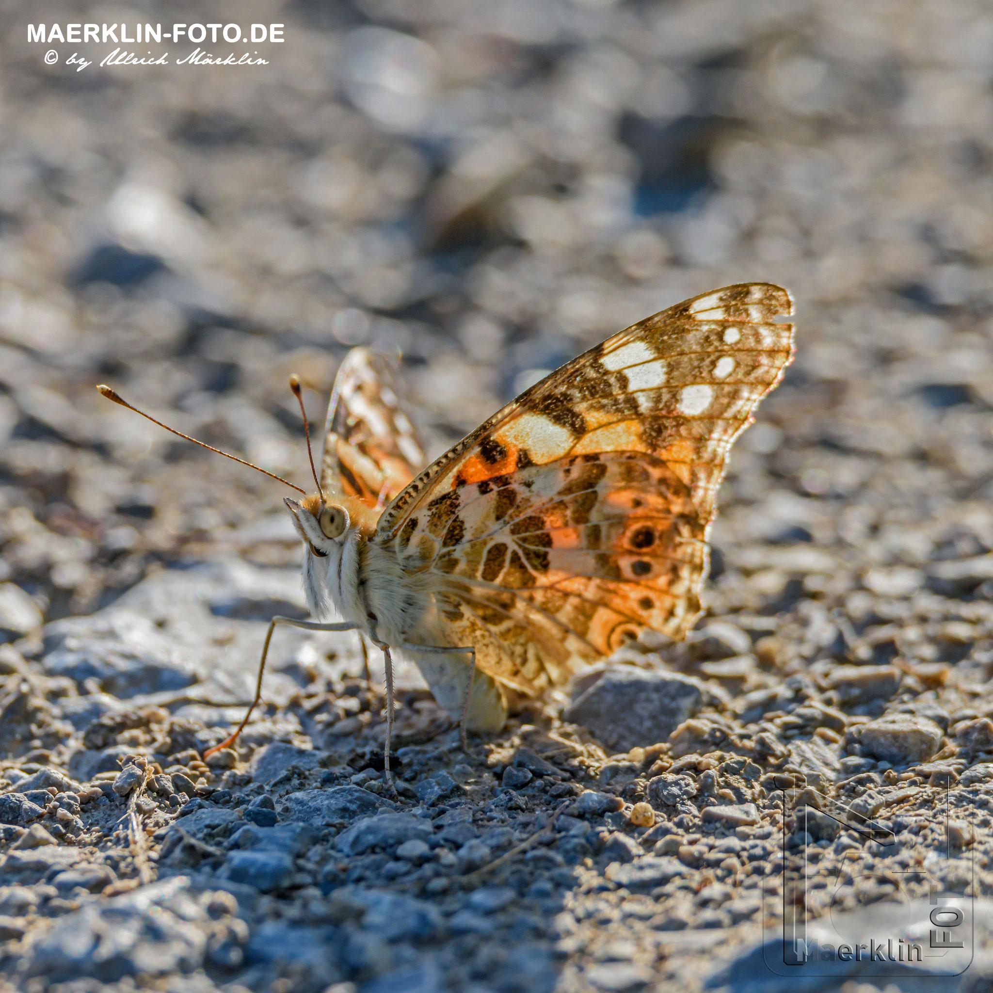 Distelfalter, Vanessa cardui, Schmetterling, Heckengäu