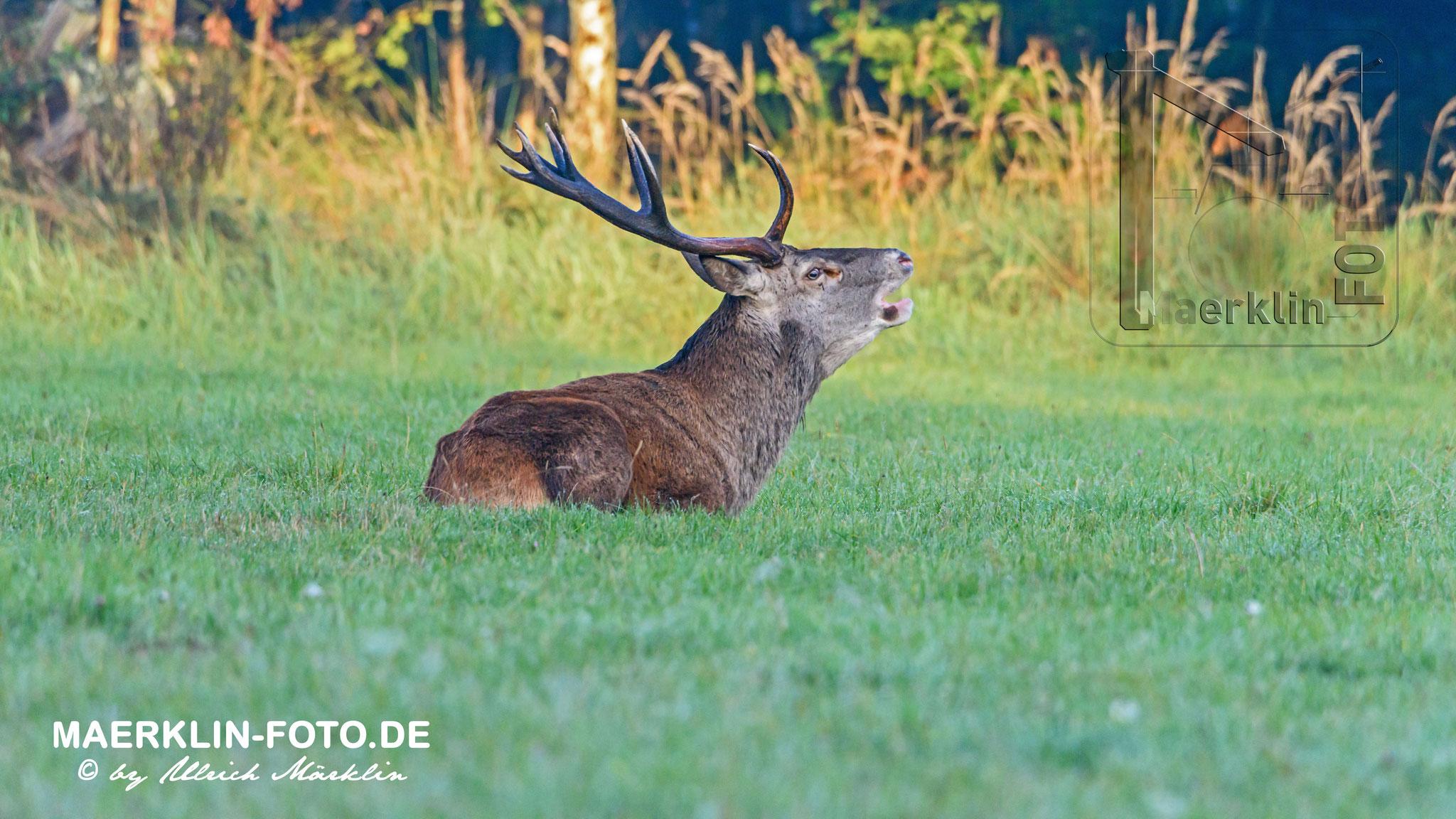 Hirschbrunft im Naturpark Schönbuch, Rothirsch (Cervus elaphus)