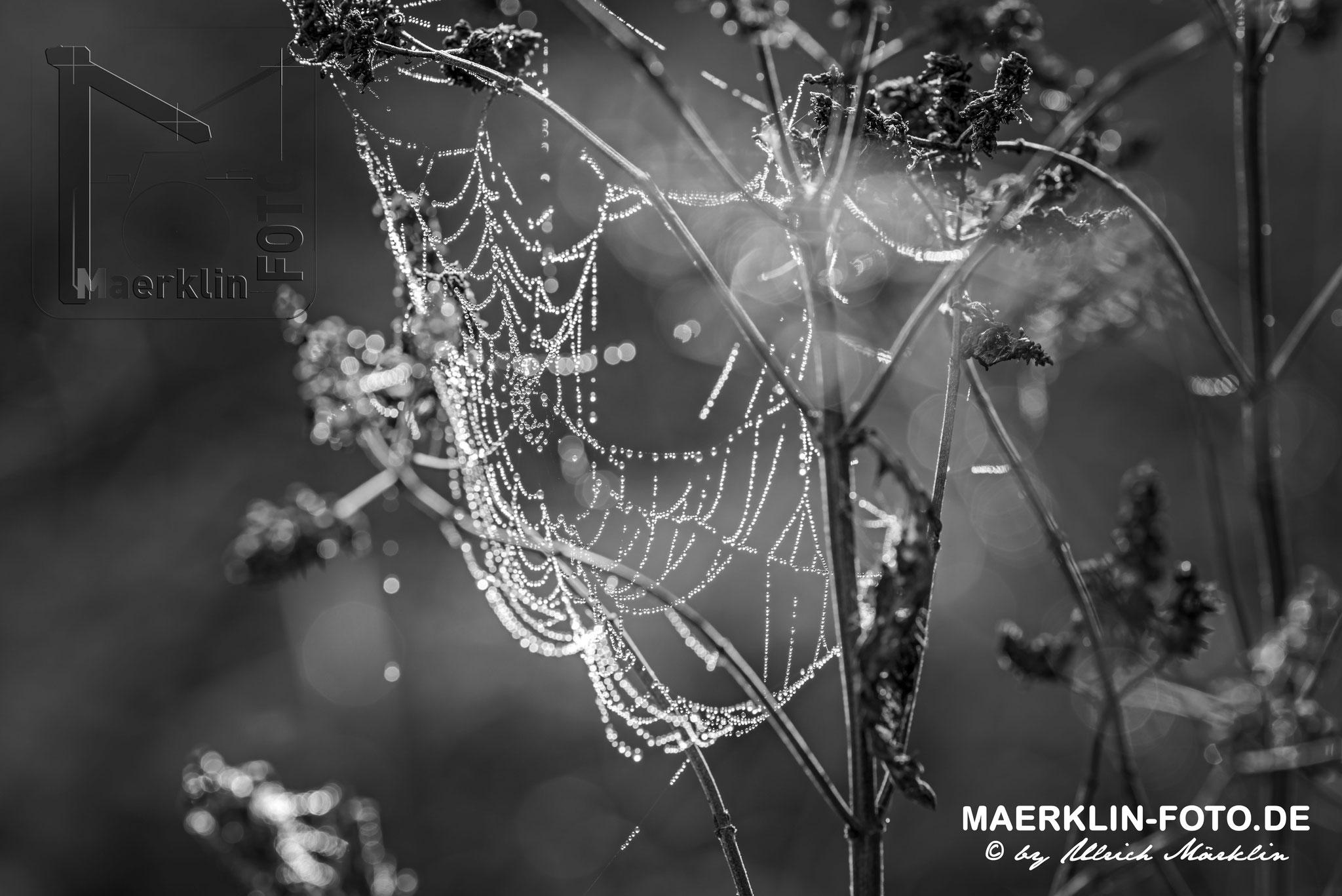 Tautropfen am Spinnenetz (schwarz-weiß), Gegenlichtaufnahme, Naturpark Schönbuch