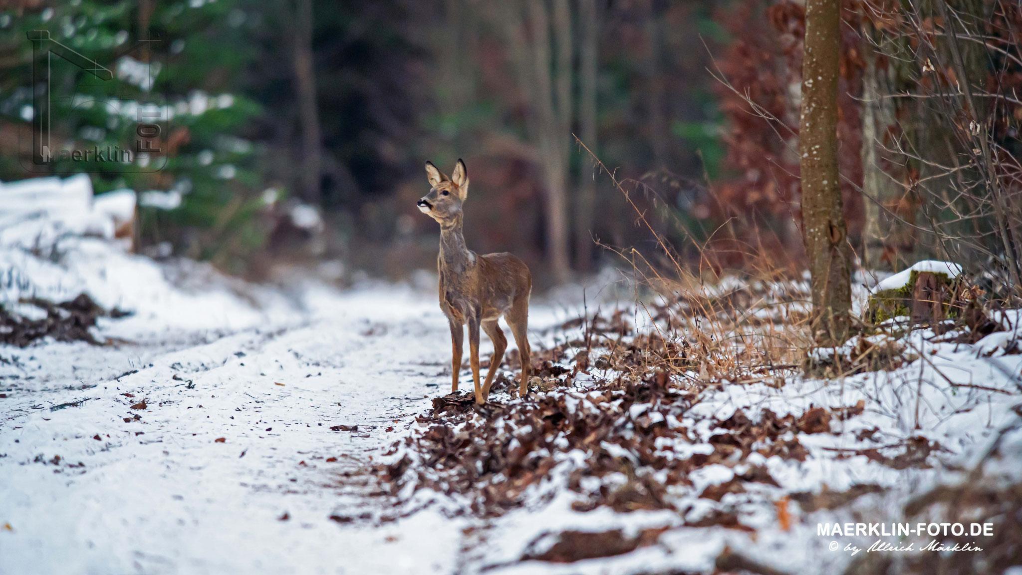 Rehwild im winterlichen Wald, Heckengäu