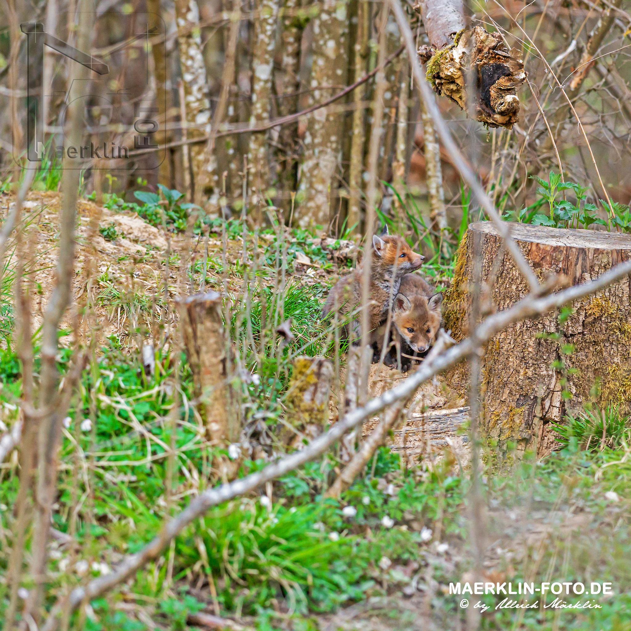 Rotfuchs (Vulpes vulpes), Welpen vor dem Bau