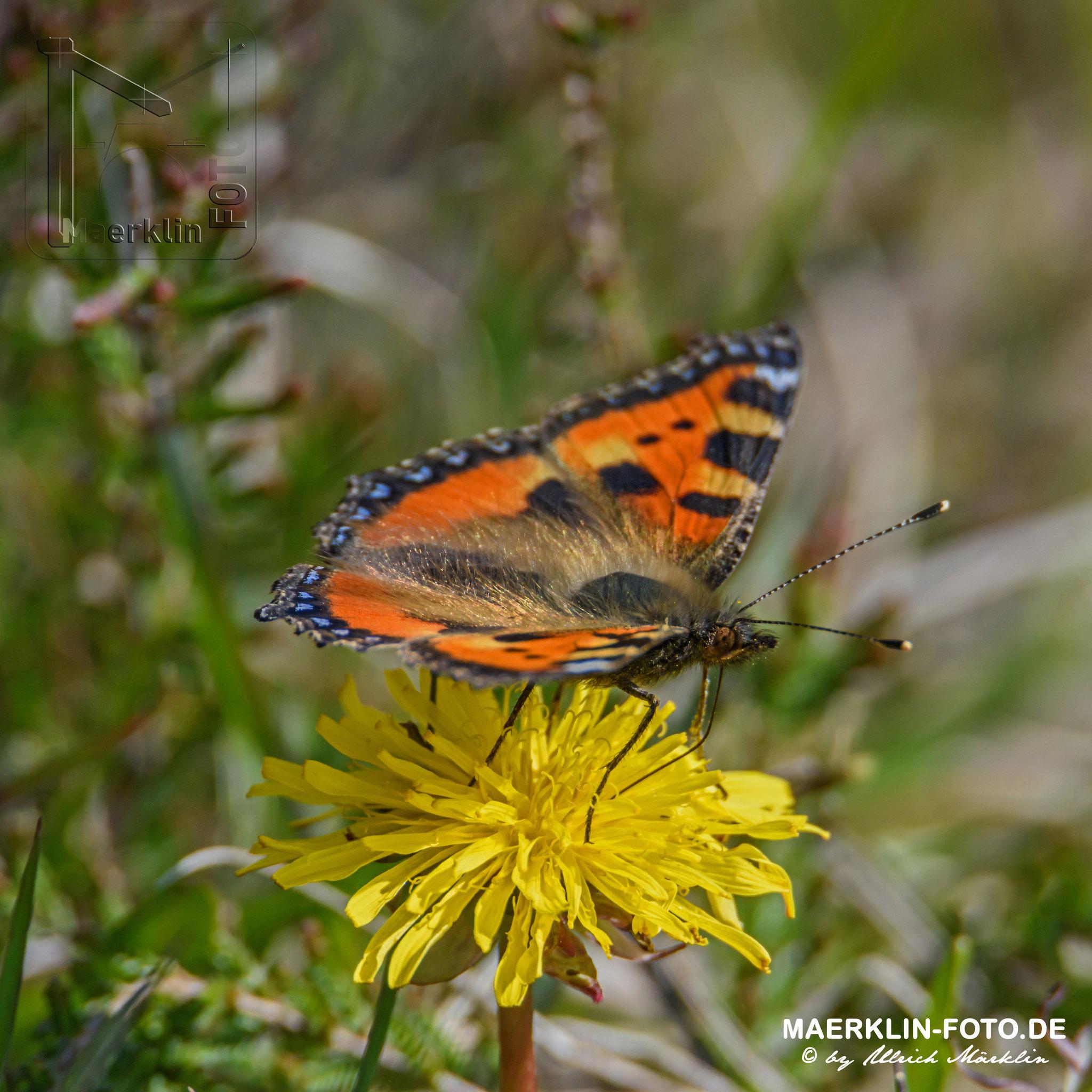 Schmetterling, Kleiner Fuchs, aglais urticae, Nationalpark Schwarzwald