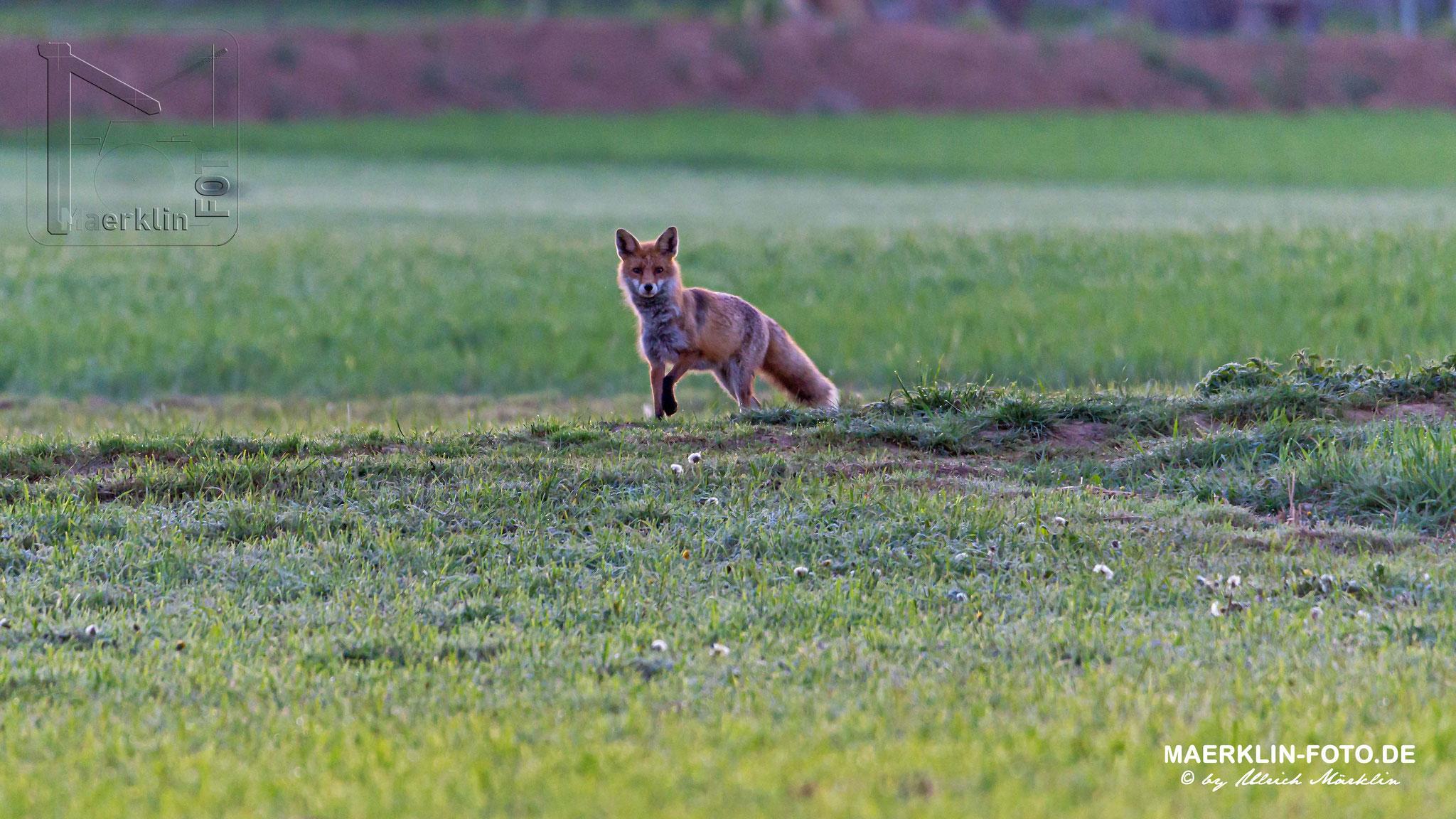 Rotfuchs, Fuchs (Vulpes vulpes), Heckengäu