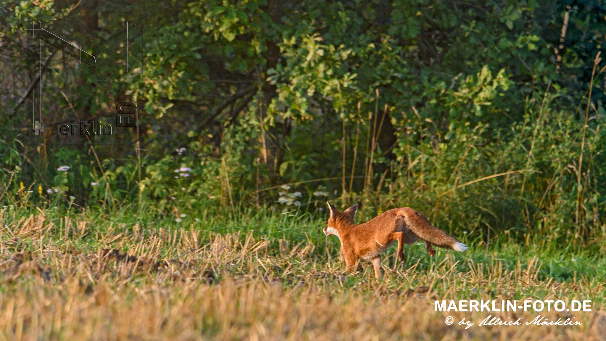 Rotfuchs (Vulpes vulpes) auf dem Sprung, Heckengäu, Baden-Württemberg, Deutschland