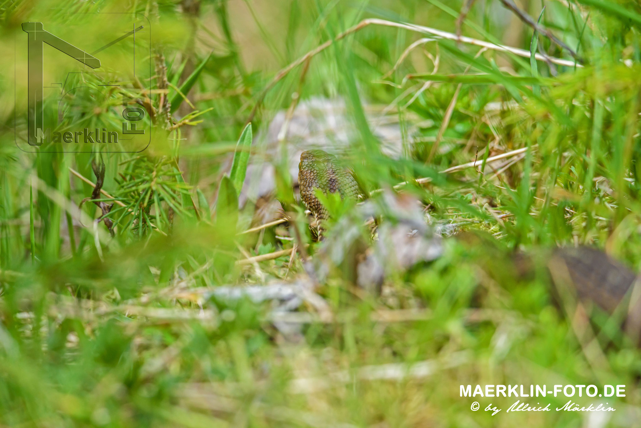 Kreuzotter, Vipera berus, Nationalpark Schwarzwald