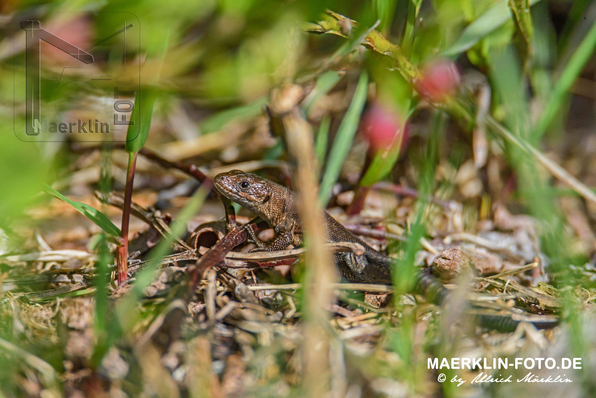 Eidechse, Waldeidechse, zootoca vivipara, Nationalpark Schwarzwald