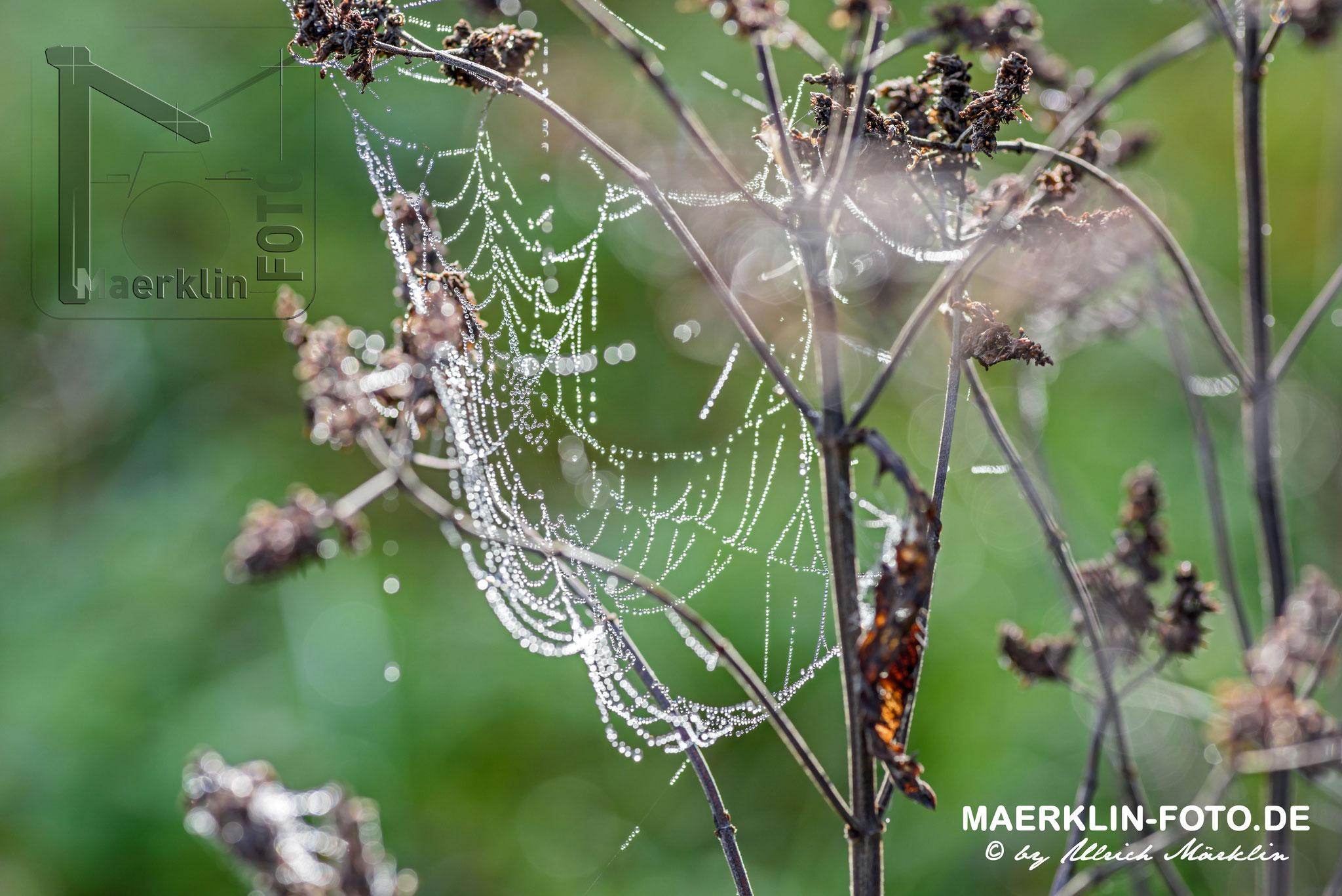 Tautropfen am Spinnenetz, Gegenlichtaufnahme, Naturpark Schönbuch