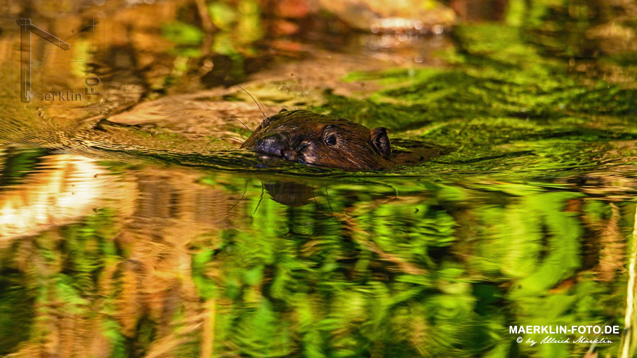(europäischer) Biber (Castor fiber/Castoridae), schwimmende