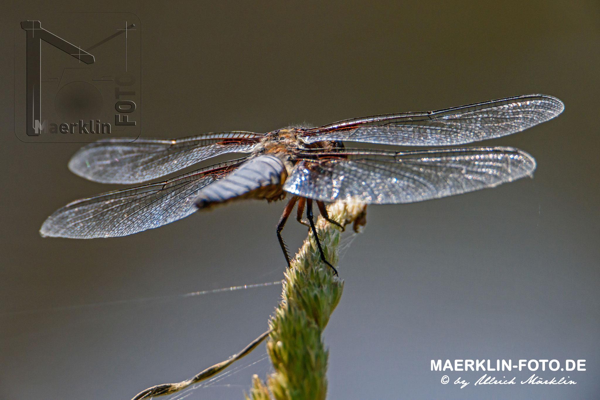 Großer Blaupfeil, Orthetrum cancellatum, Libelle