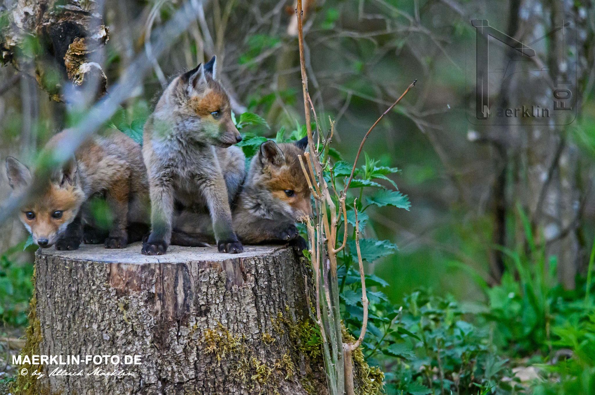 Fuchswelpen, Rotfuchs (Vulpes vulpes), Heckengäu