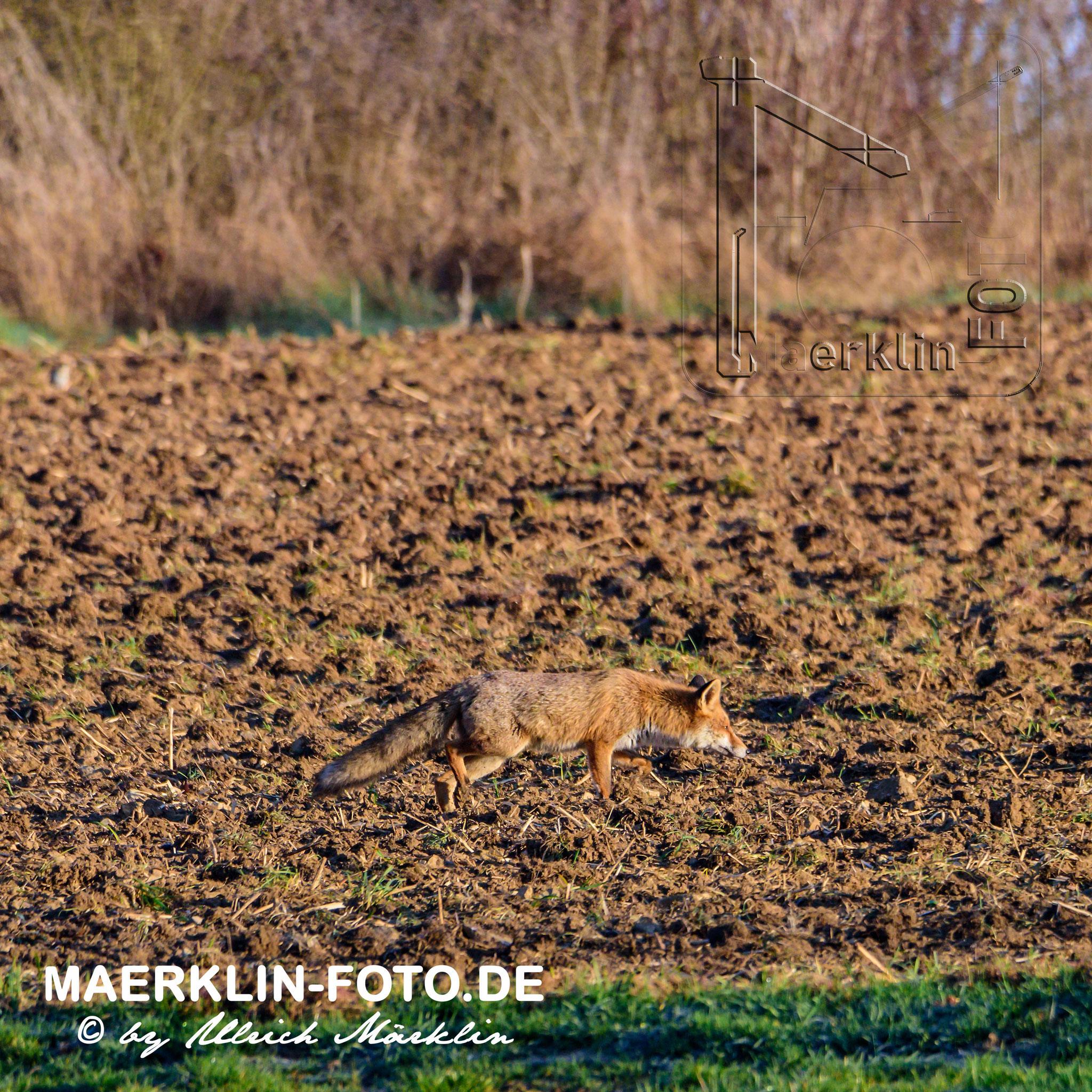 Heckengäu, Fuchs/Rotfuchs