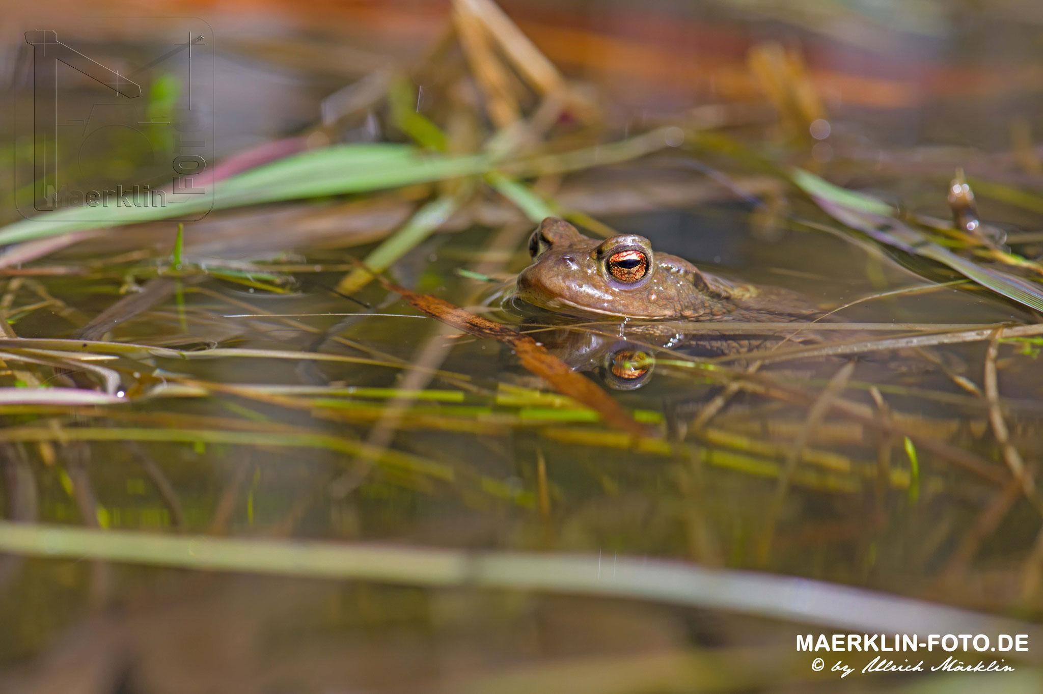 Kröten im Waldteich, Erdkröten/Bufo bufo, Heckengäu