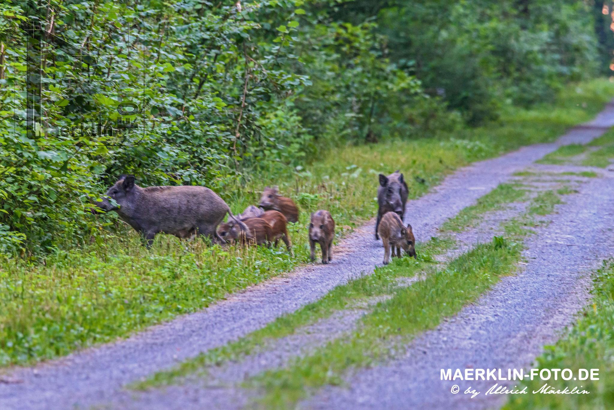 Wildschweine (Sus scrofa), Heckengäu