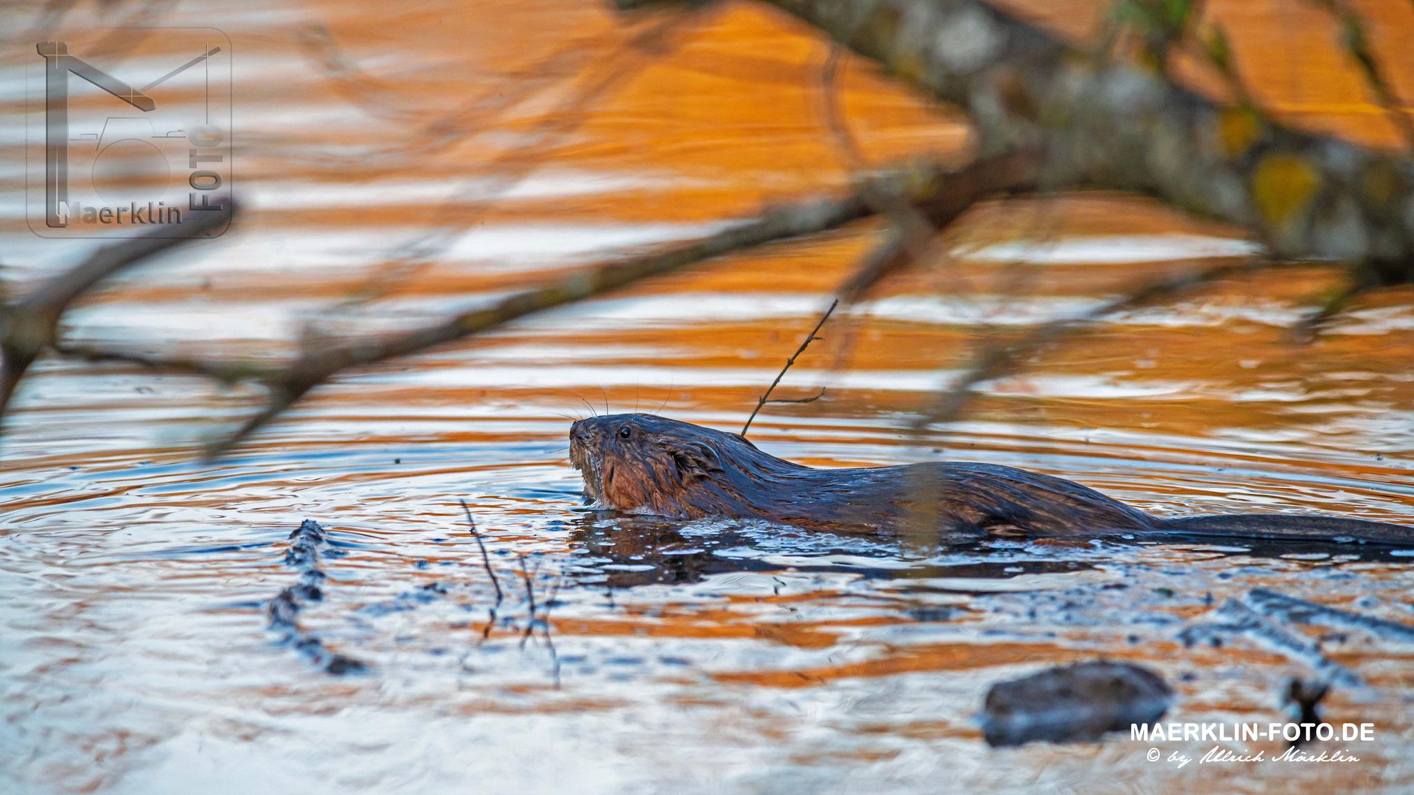 Nutria, schwimmend bei Sonnenuntergang